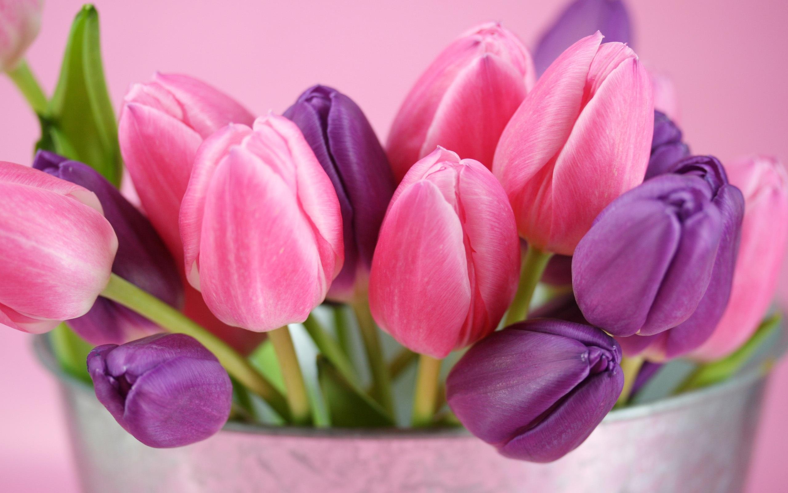Hintergrundbilder beschreibung rosa und lila tulpen blumen