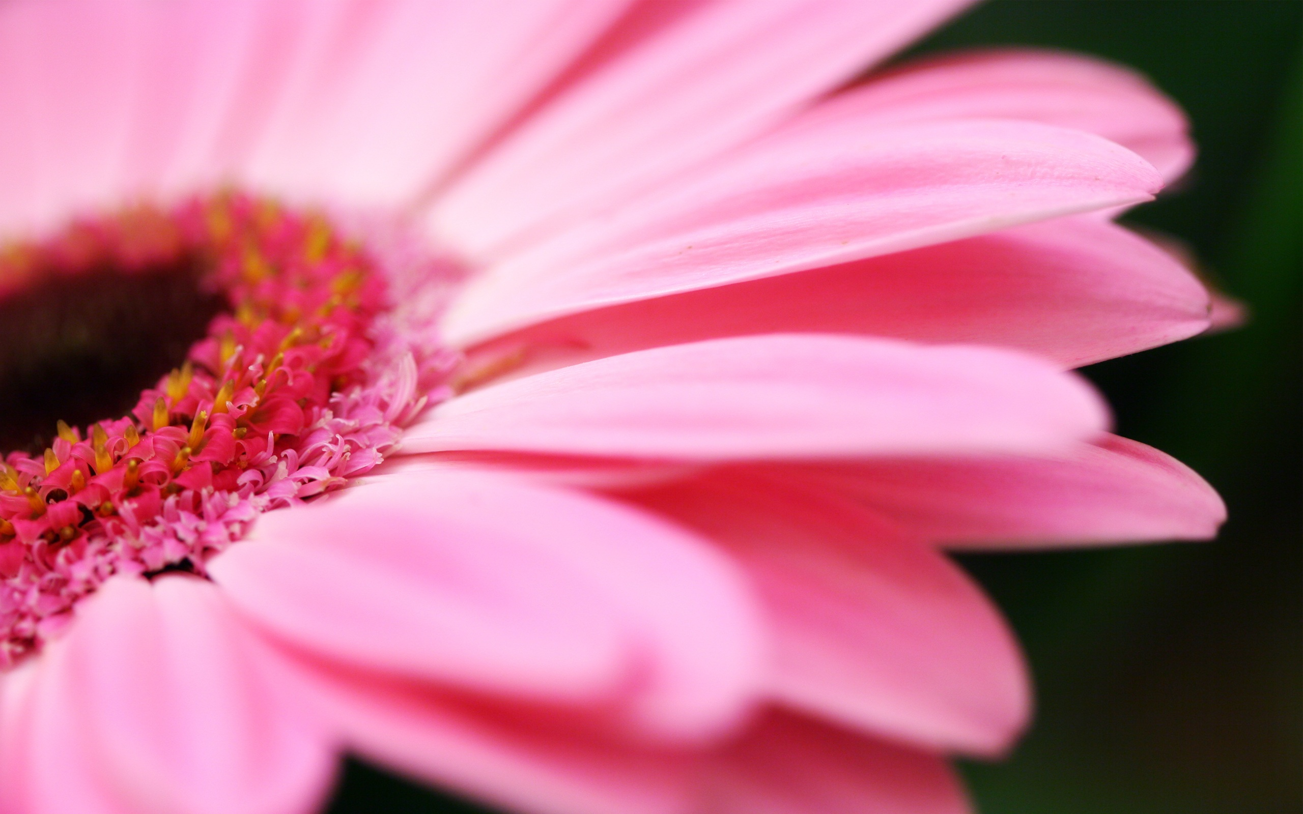 rosa blume makro 2560x1600 hd hintergrundbilder hd bild. Black Bedroom Furniture Sets. Home Design Ideas