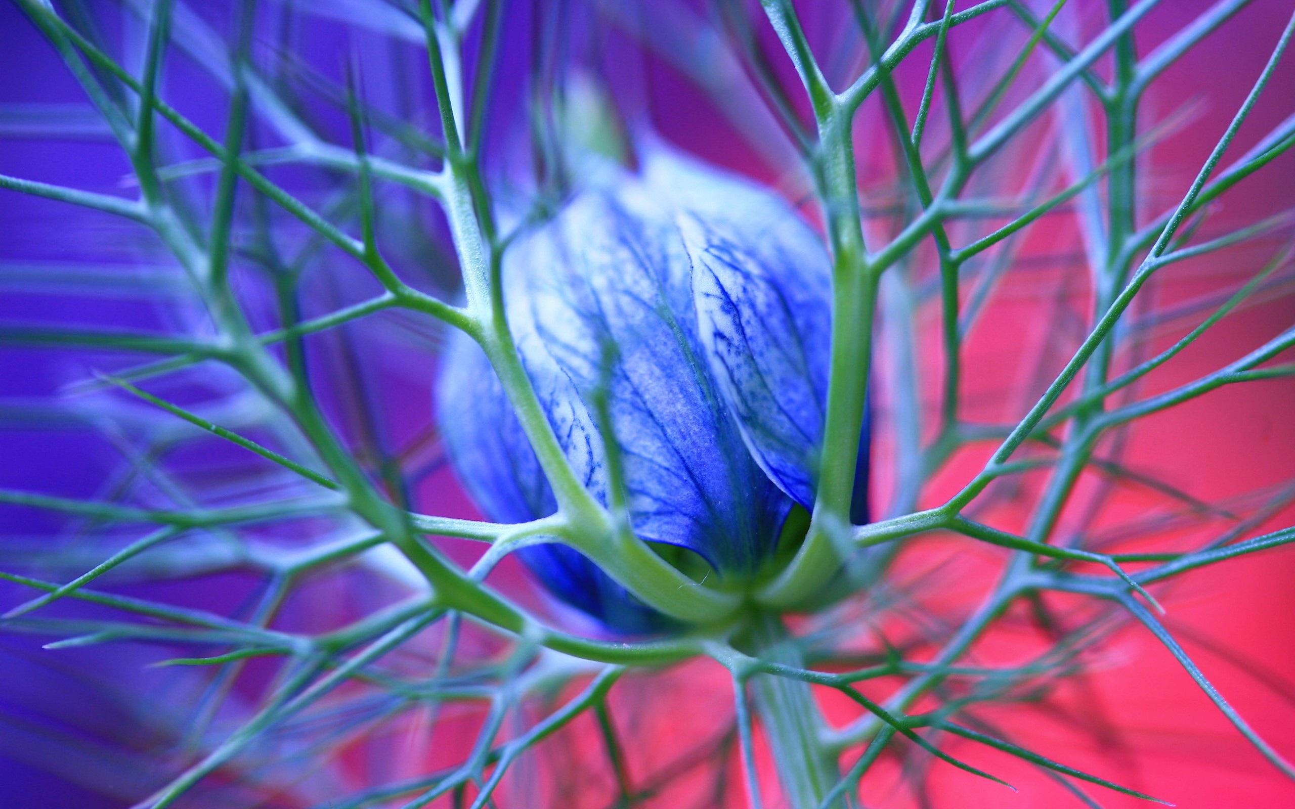 Hintergrundbilder Blaue Blume: Blaue Blumen Mit Dornen 2560x1600 HD Hintergrundbilder, HD