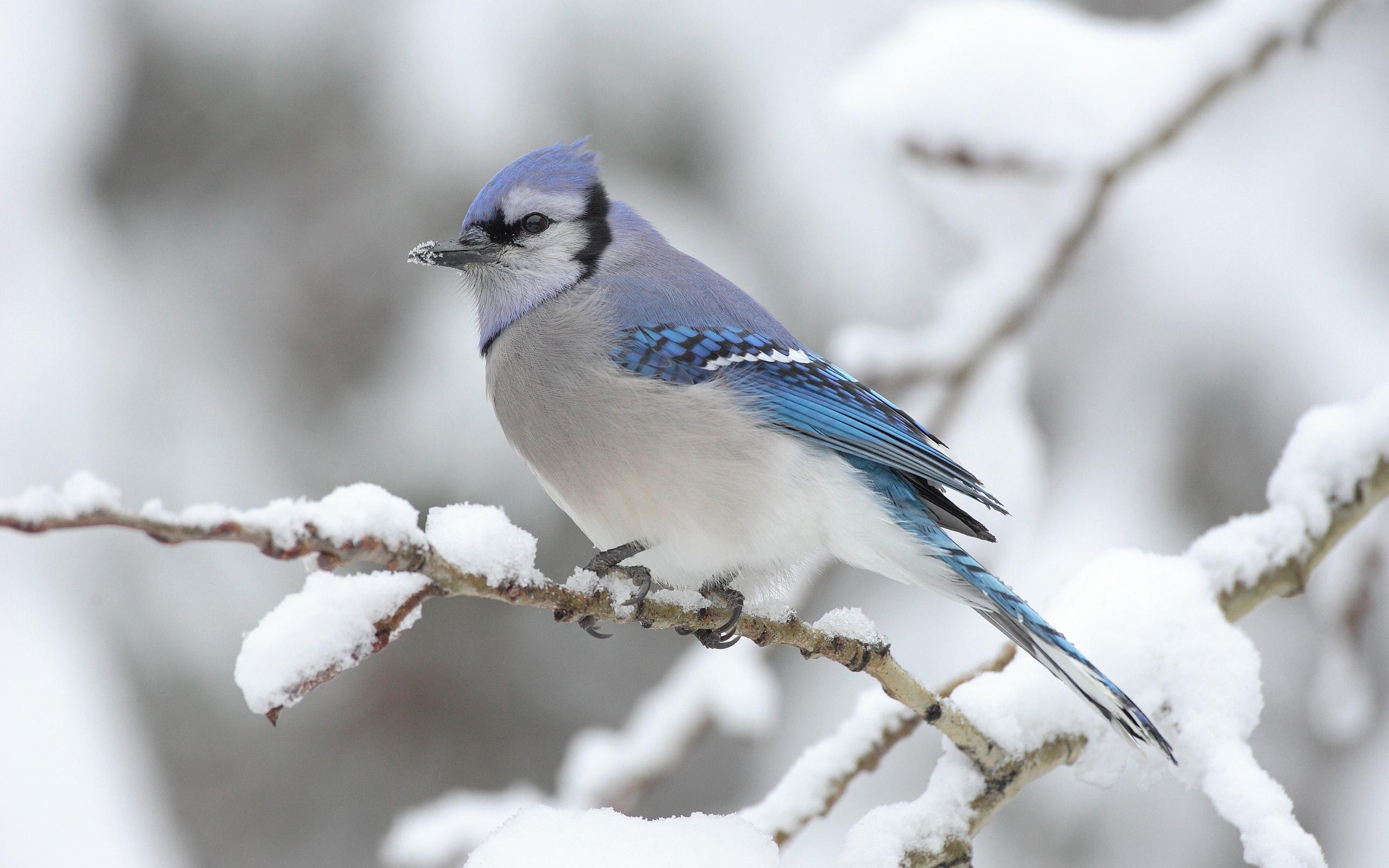 Fonds d 39 cran oiseau sur la neige hiver arbre 2560x1600 hd for Fond ecran hiver hd