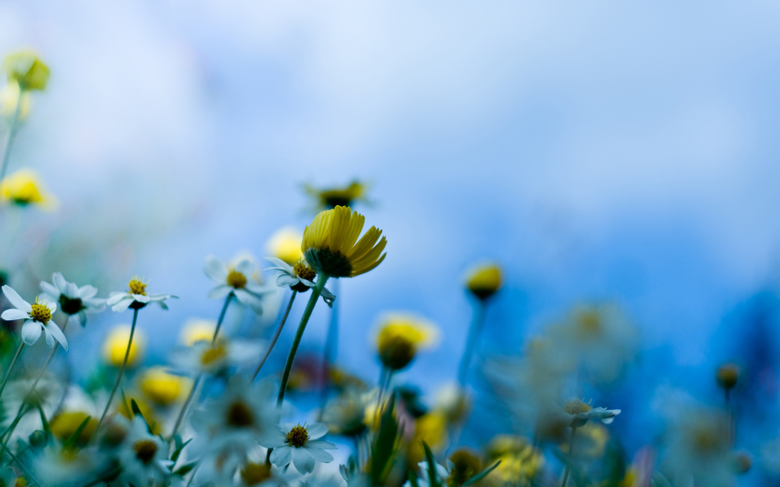 Papéis De Parede Fundo Azul De Flores Amarelas 2560x1600