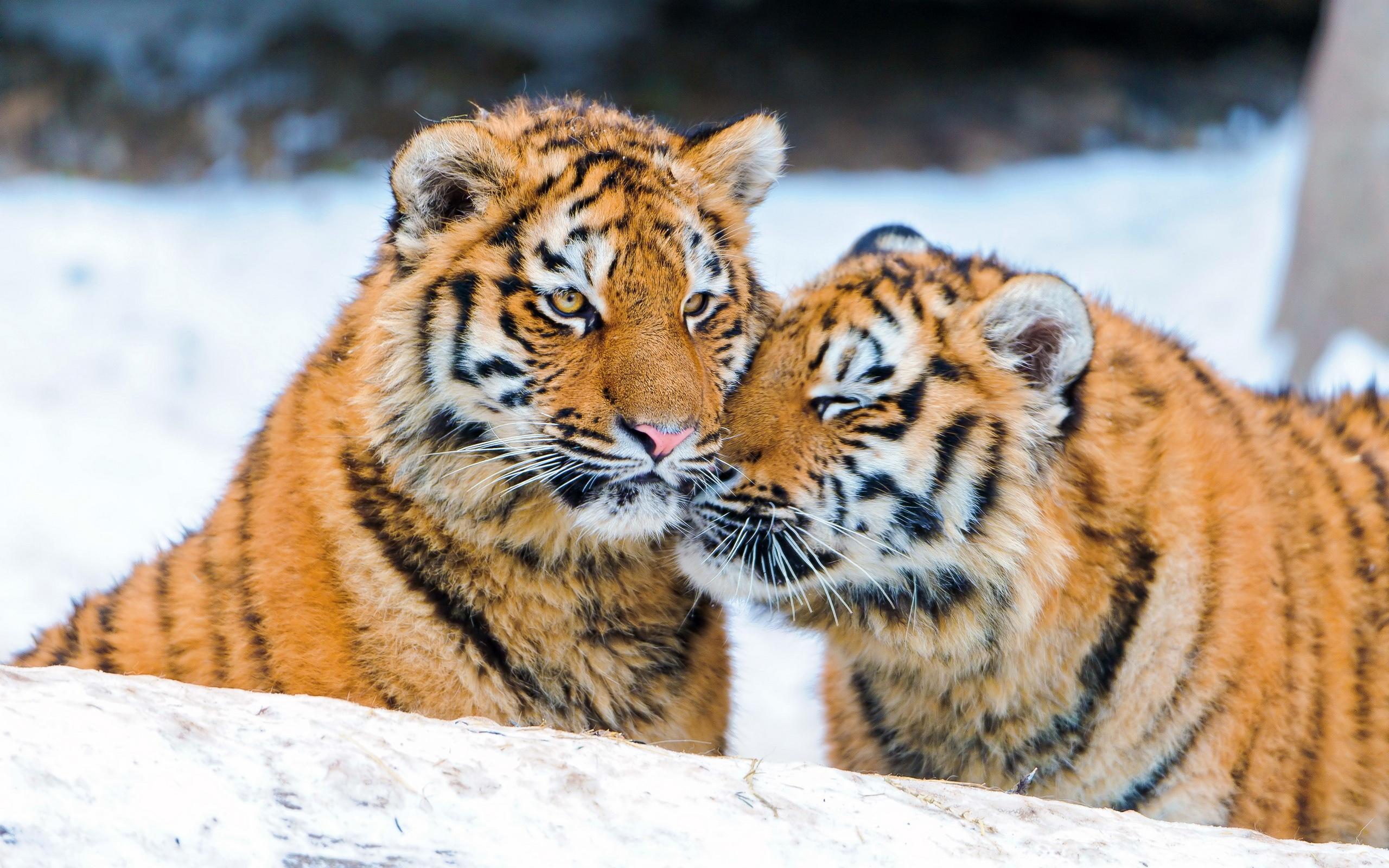 虎の画像 p1_35