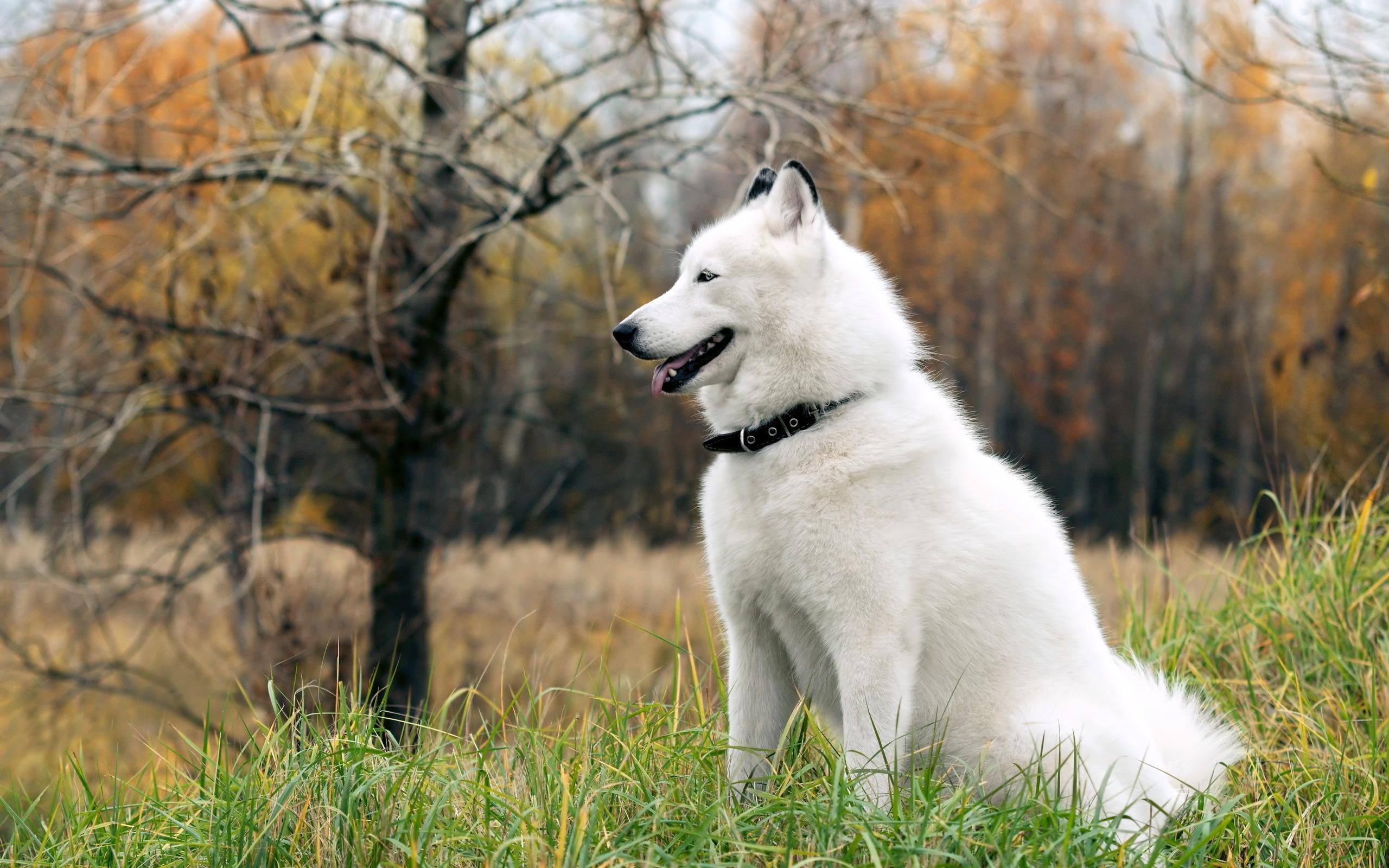 Perros Husky Siberiano Fondos De Pantalla Hd De Animales 2: Fondos De Pantalla Perro Husky En La Hierba 2560x1600 HD