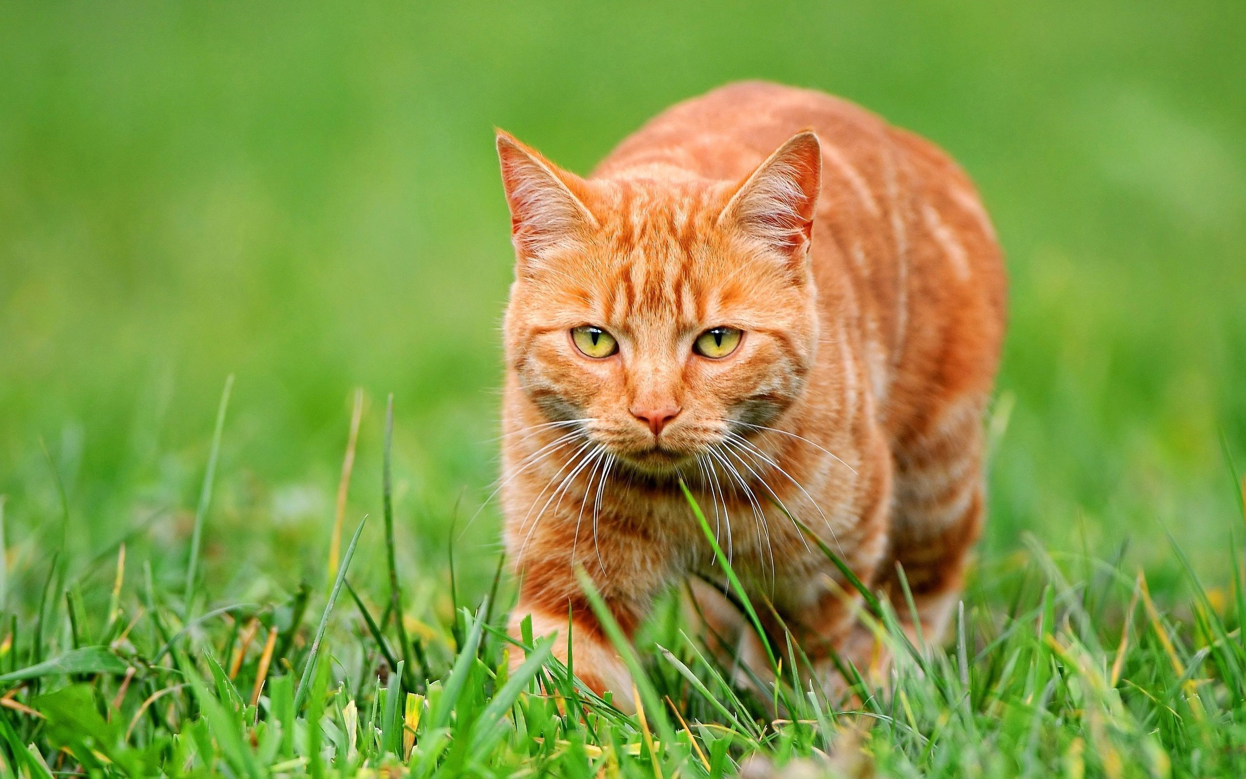 chat orange sur l 39 herbe verte fonds d 39 cran 2560x1600