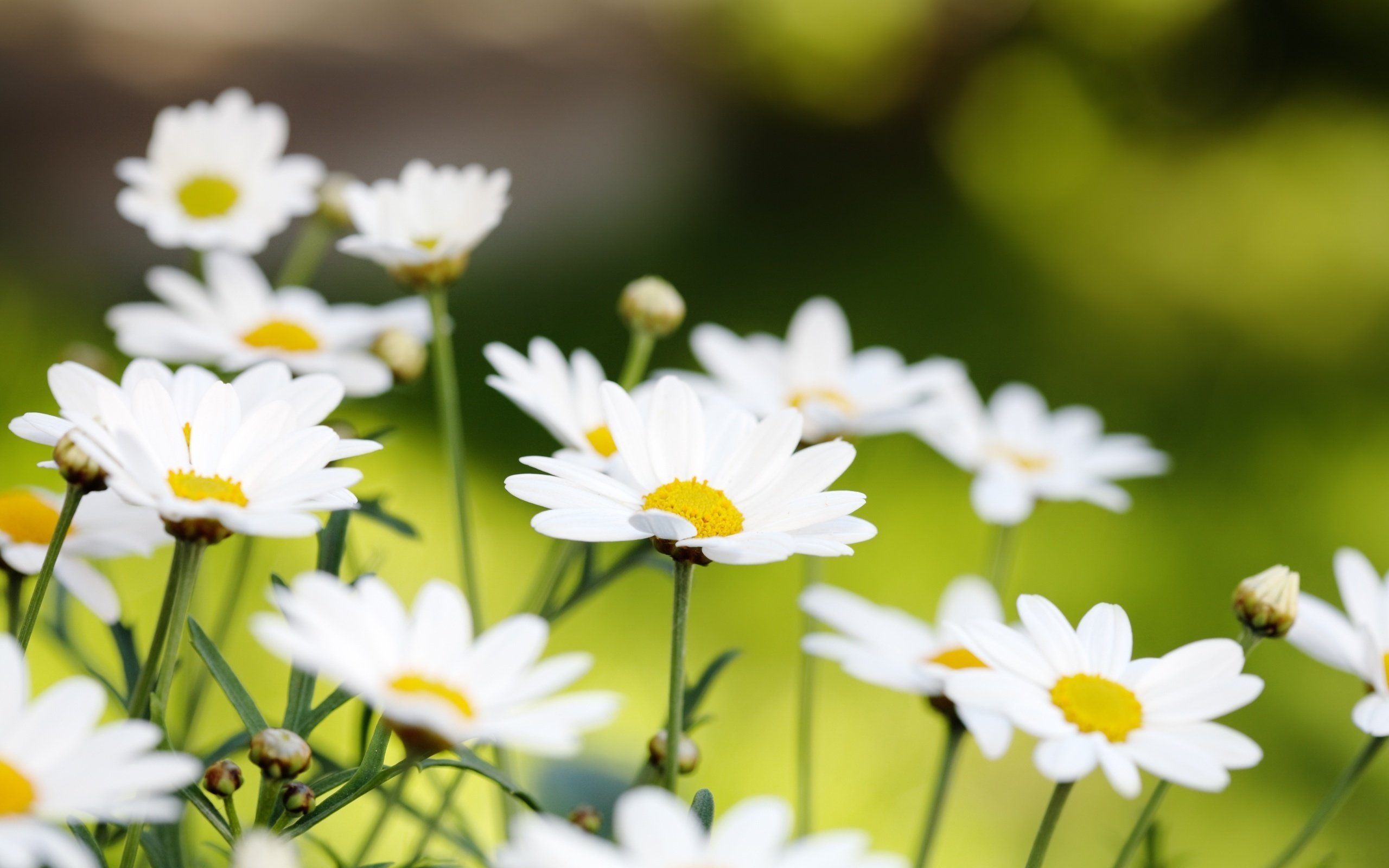 White daisies macro wallpaper - 2560x1600