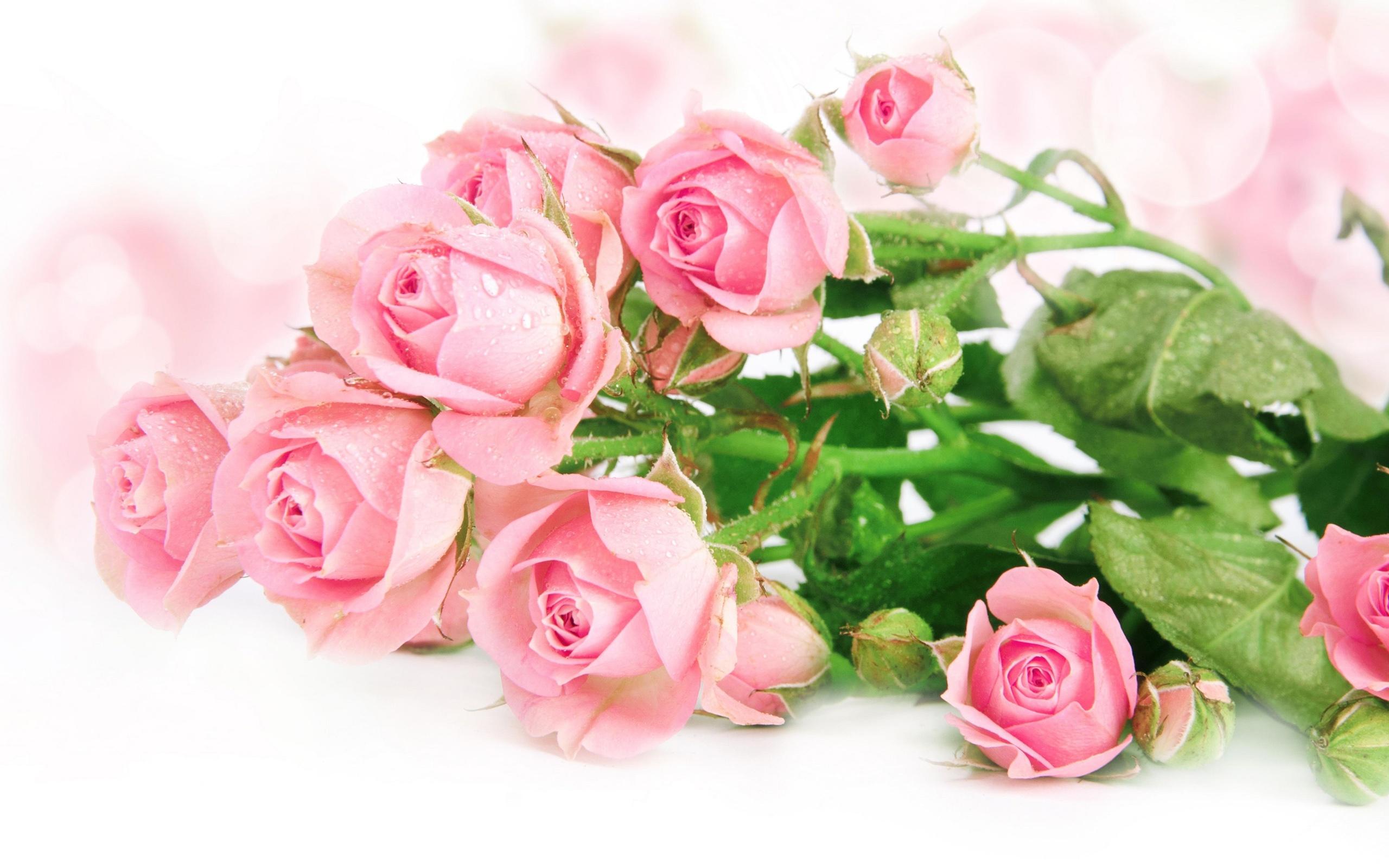 frische rosa rosen hintergrundbilder 2560x1600 hintergrundbilder download de best wallpaper net. Black Bedroom Furniture Sets. Home Design Ideas