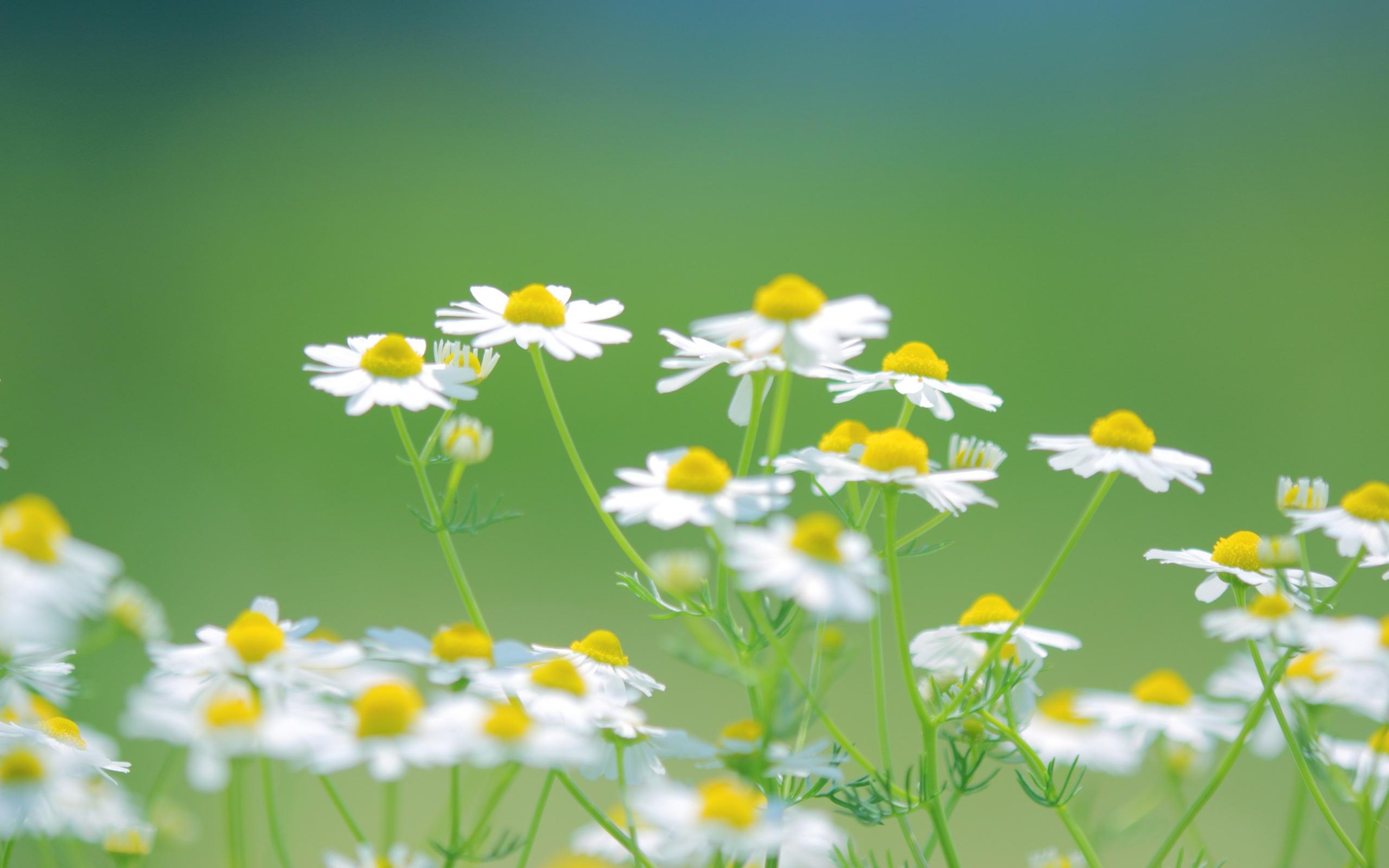 ромашки цветы трава скачать