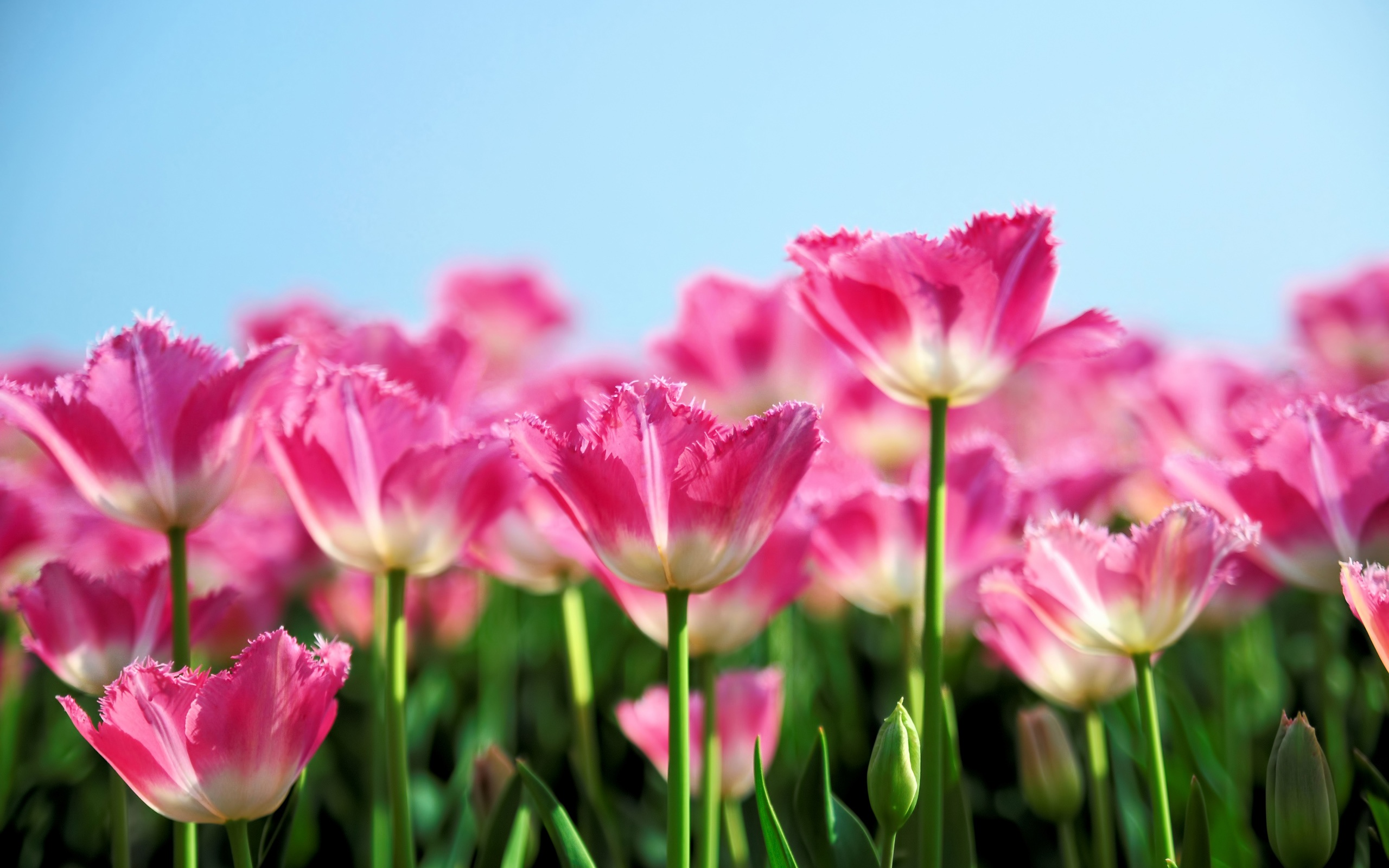 Wallpaper pink tulip flowers bloom in spring the blue sky download this wallpaper mightylinksfo