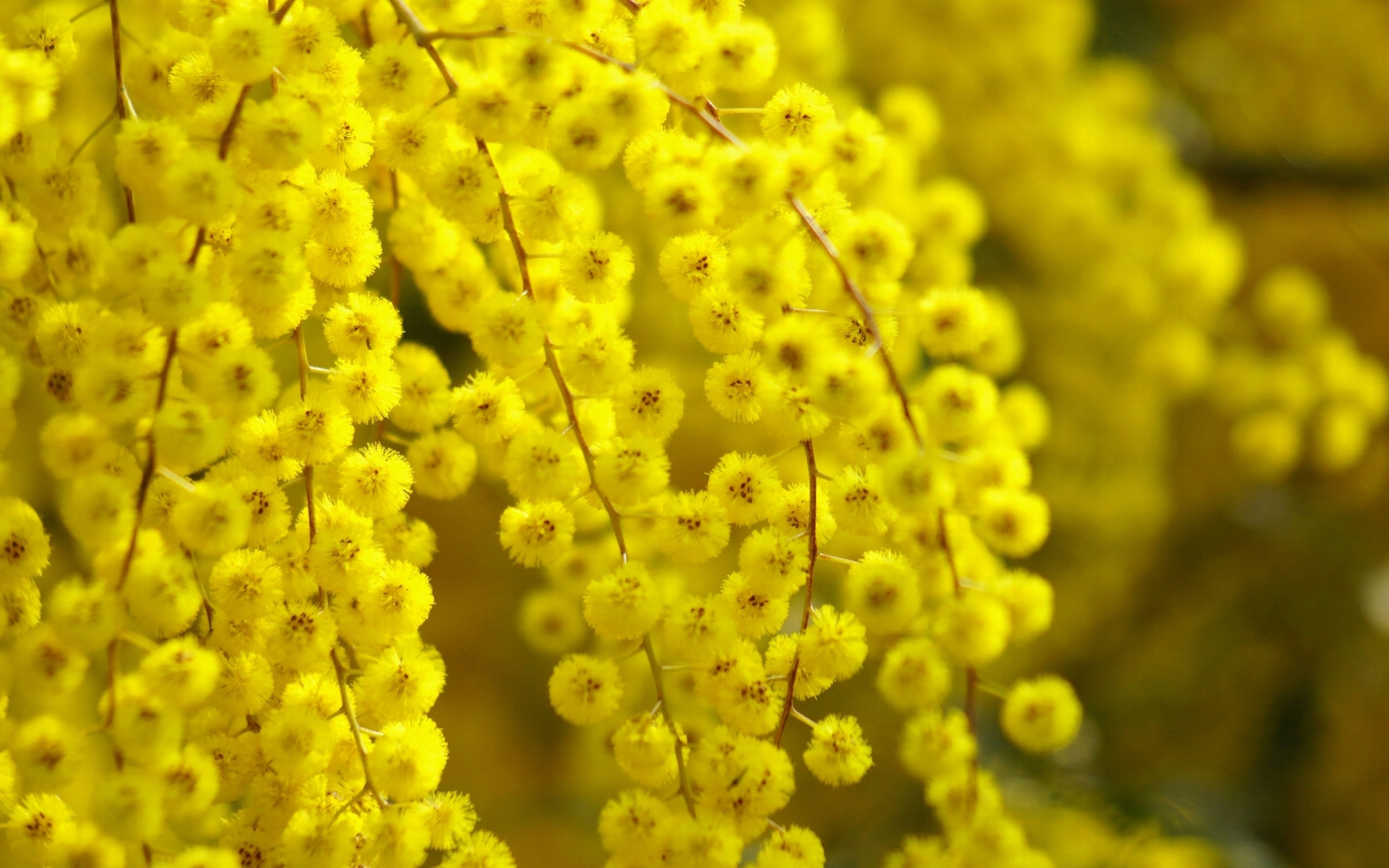 Beautiful acacia flower yellow glare wallpaper 2560x1600