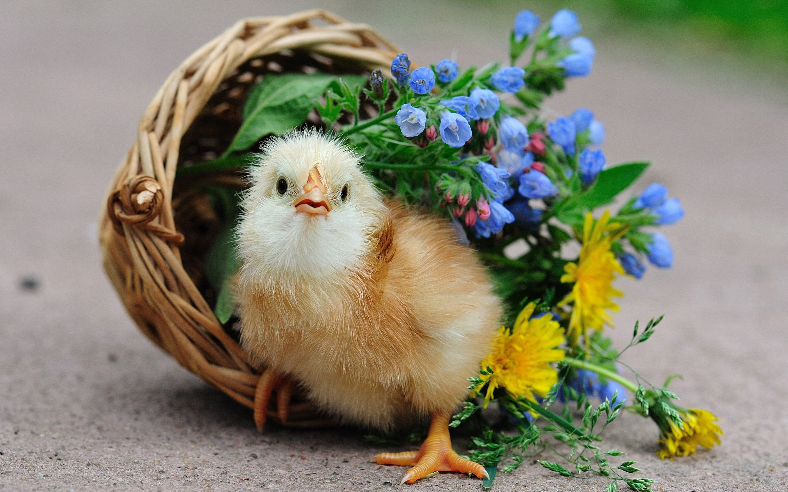 Wallpaper Cute Chick Basket Flowers 2560x1600 Hd Picture