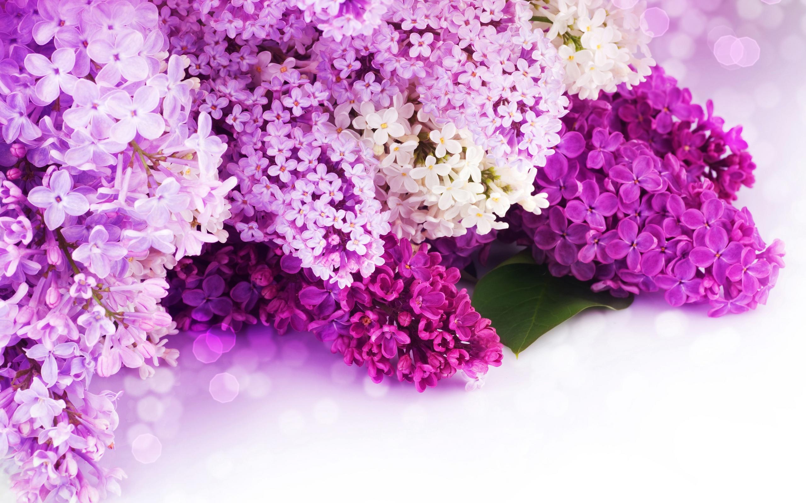download hintergrundbilder 2560x1600 lilac lila und wei en bl ten blumen close up hd hintergrund. Black Bedroom Furniture Sets. Home Design Ideas