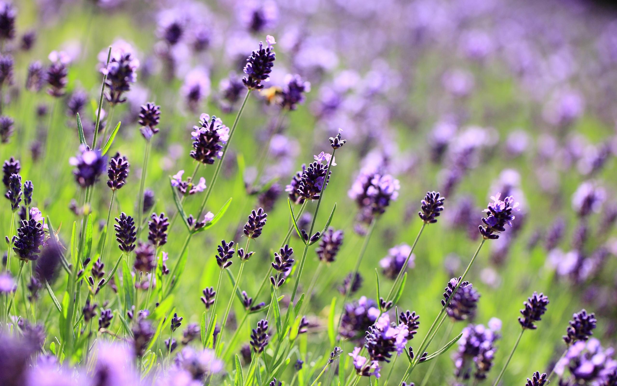 lavendel lila blumen feld wiese verschwommen close up 2560x1600 hd hintergrundbilder hd bild. Black Bedroom Furniture Sets. Home Design Ideas