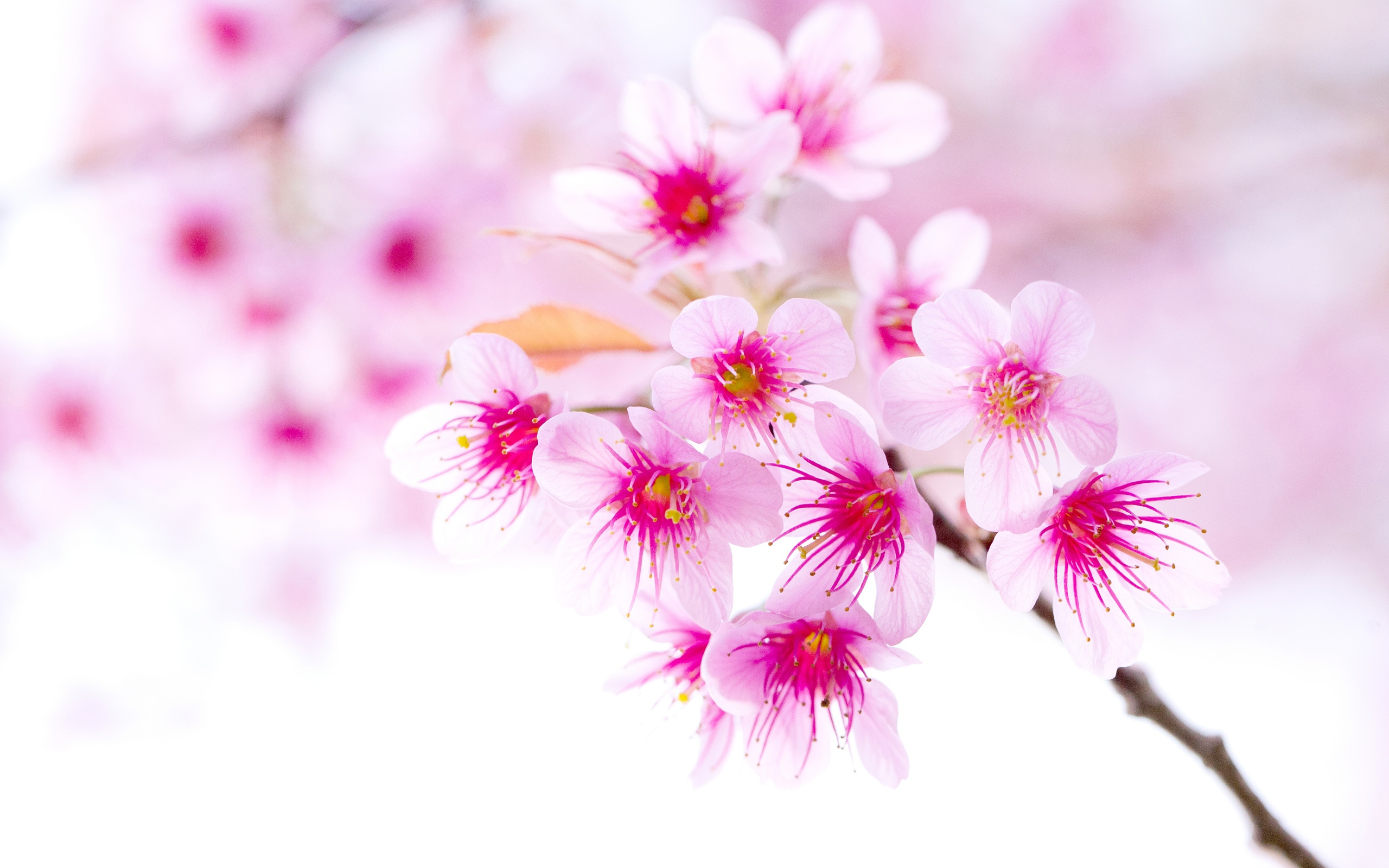 Wallpaper Spring Cherry Blossoms Pink Flowers Close Up 2560x1600 Hd