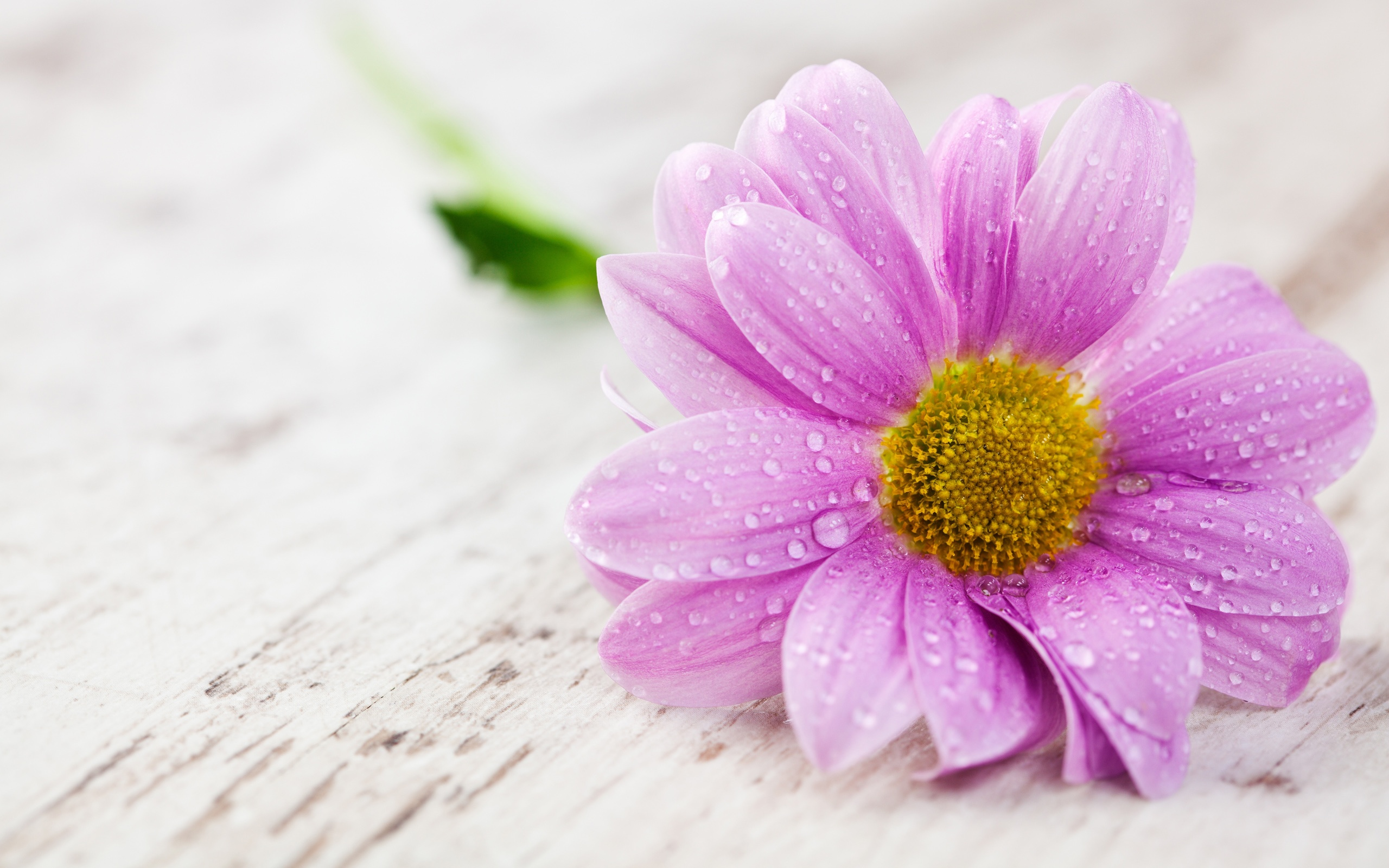 Download Wallpaper 2560x1600 A pink flower petals with ...
