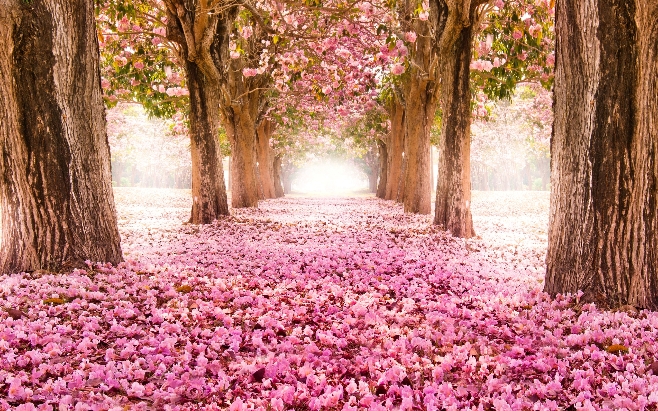 Розовые цветы инда пути деревья