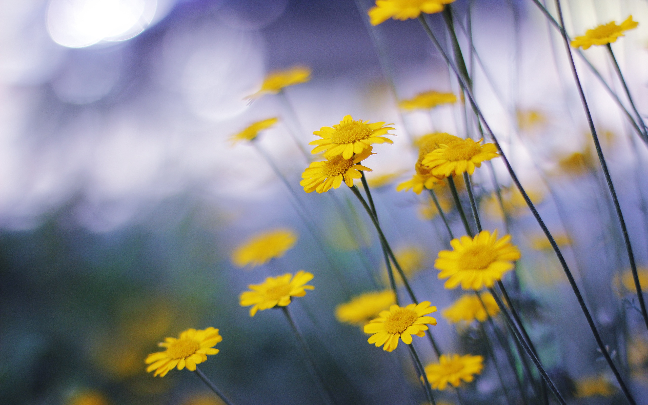 Wallpaper Little Yellow Flowers Macro Photography 2560x1600 Hd Picture Image