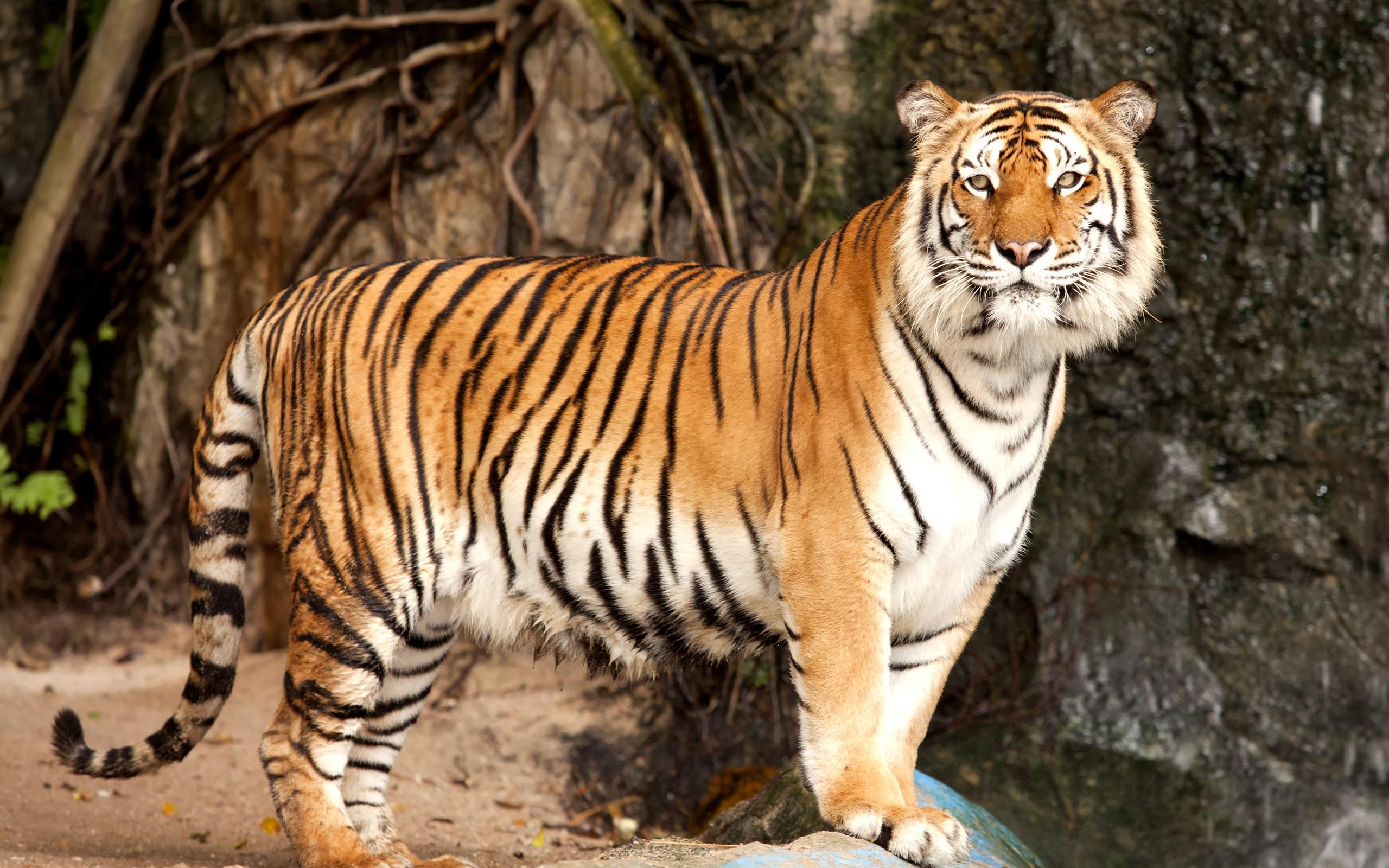 西伯利亞虎,食肉動物 壁紙 - 2560x1600   西伯利亞虎,食肉動物 壁紙