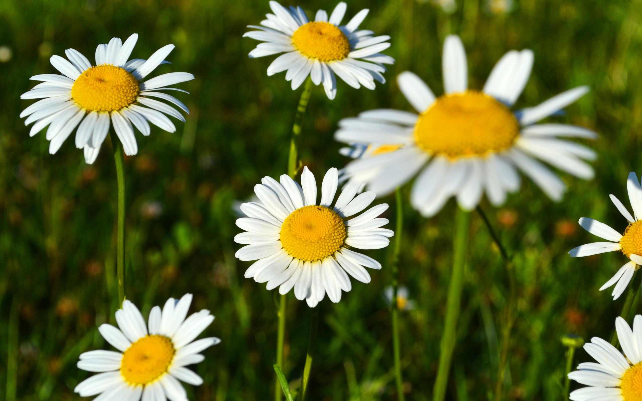 Fondos De Pantalla Margaritas Blancas, Flores Bonitas