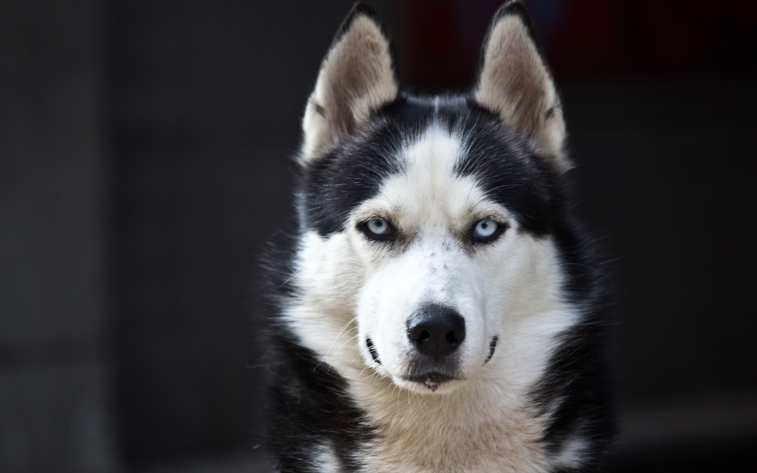 Husky dog, blue eyes, white black Wallpaper | 2560x1600 resolution ...