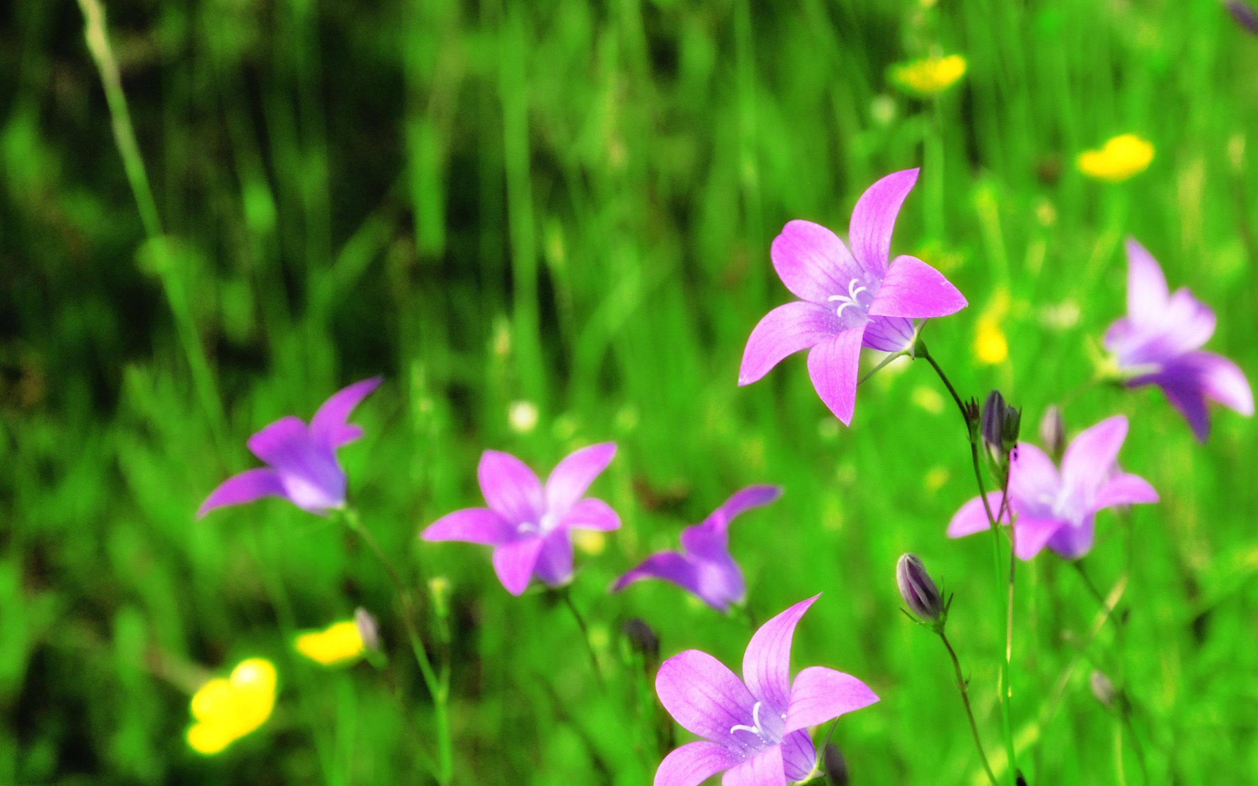 花玲00_壁纸 紫铃花 2560x1600 hd 高清壁纸, 图片, 照片