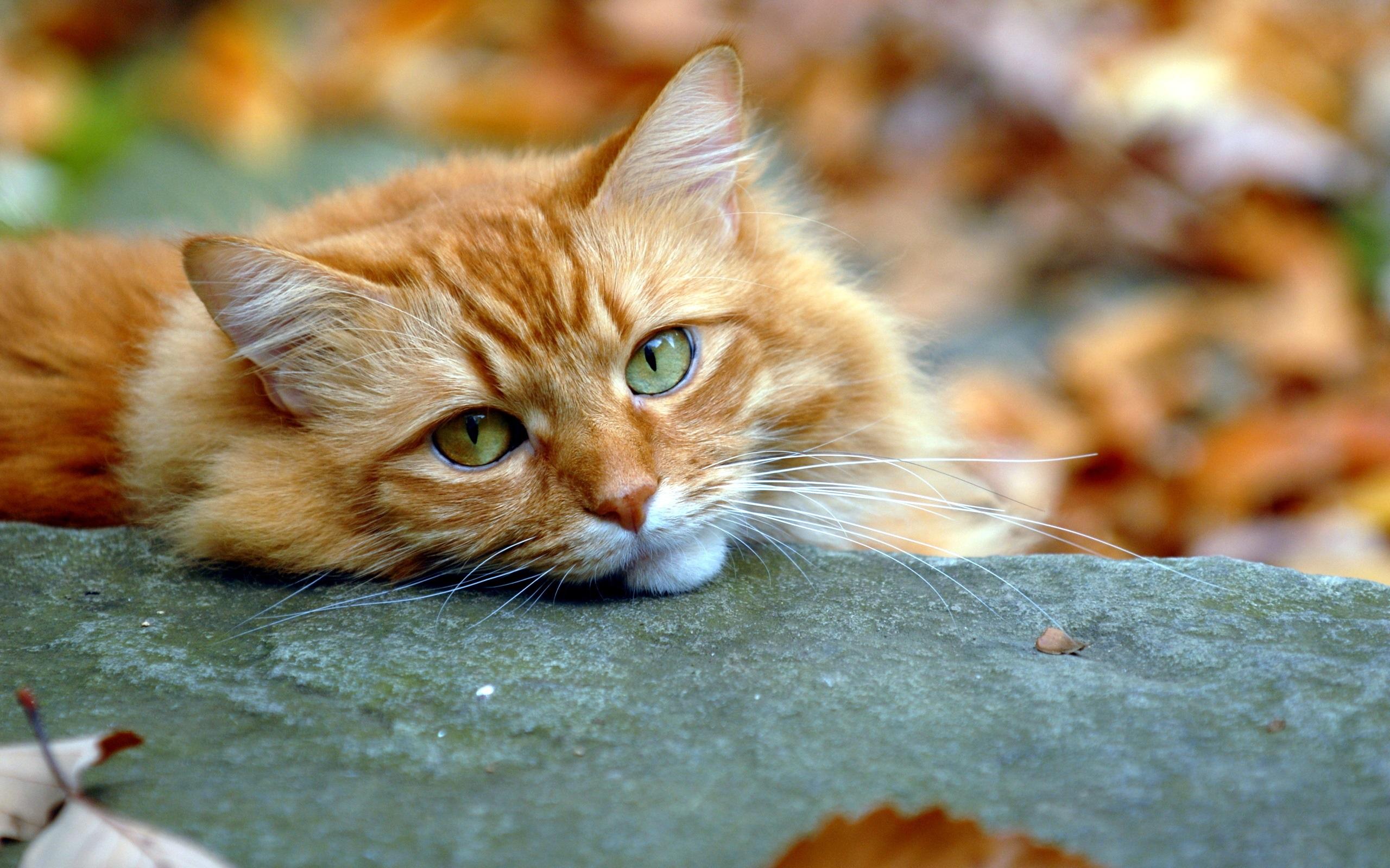 壁紙 かわいい猫 顔 目 秋 2560x1600 Hd 無料のデスクトップの背景
