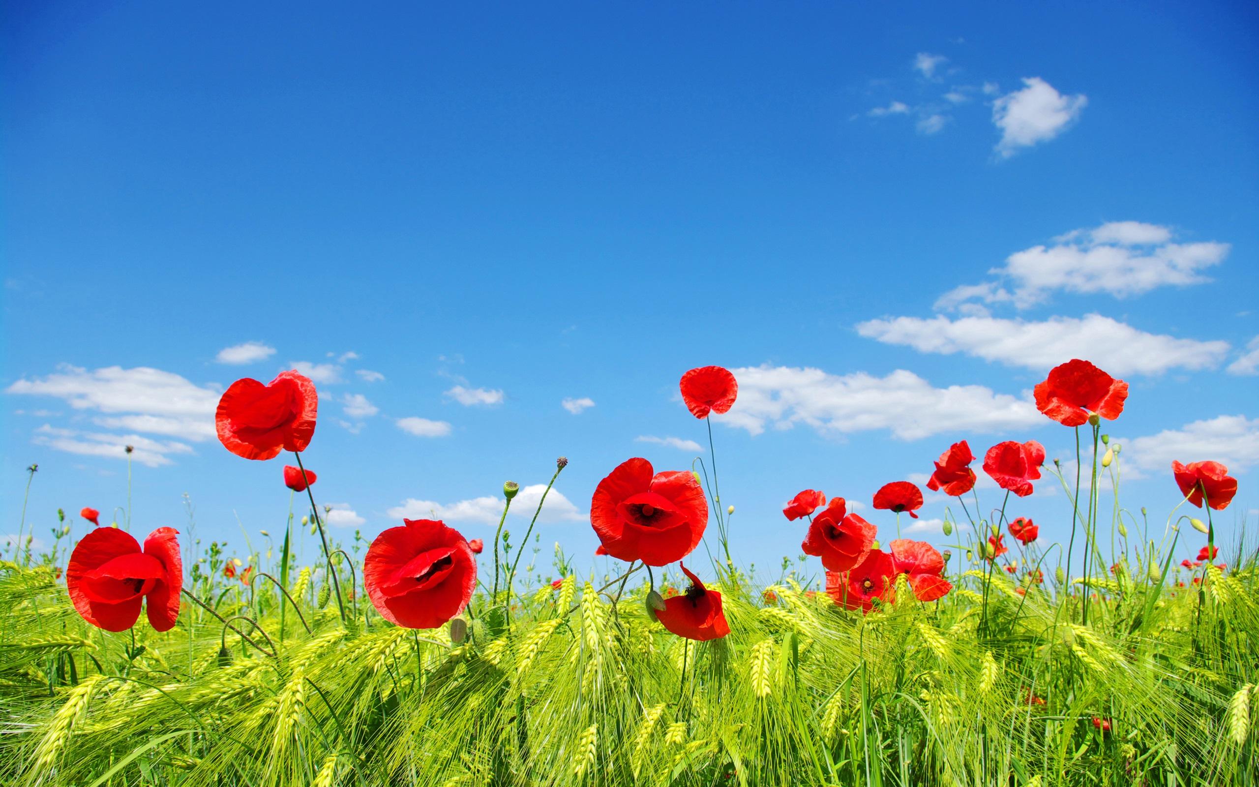 Ciel, nuages, champs de fleurs, prairie, coquelicots rouges Fond d\u0027écran