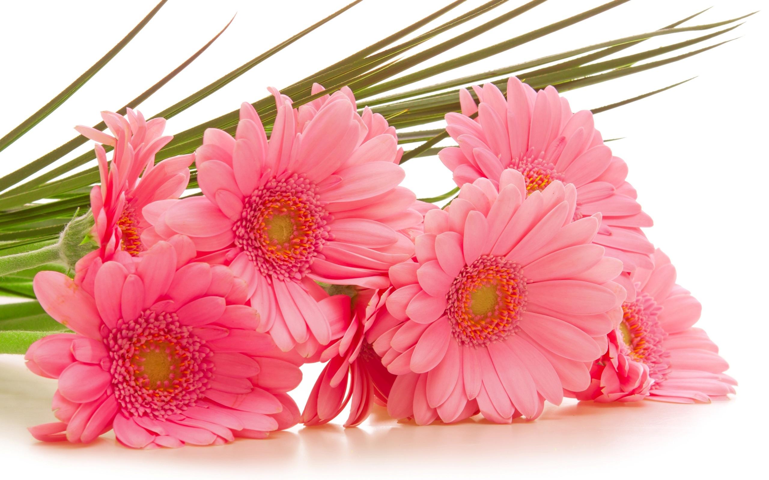 壁紙 ガーベラピンクの花 2560x1600 Hd 無料のデスクトップの背景 画像
