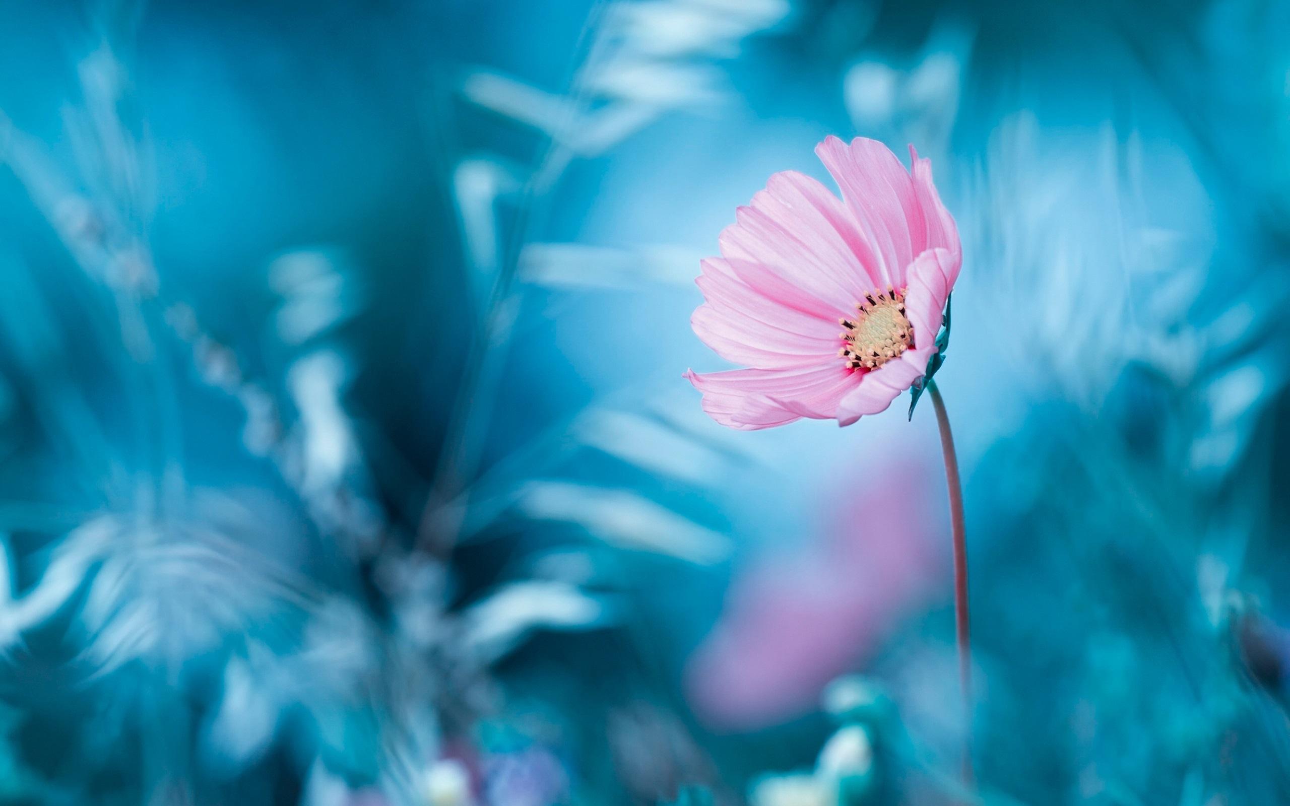 Wallpaper Pink Flower Blue Background Bokeh 2560x1600 Hd Picture