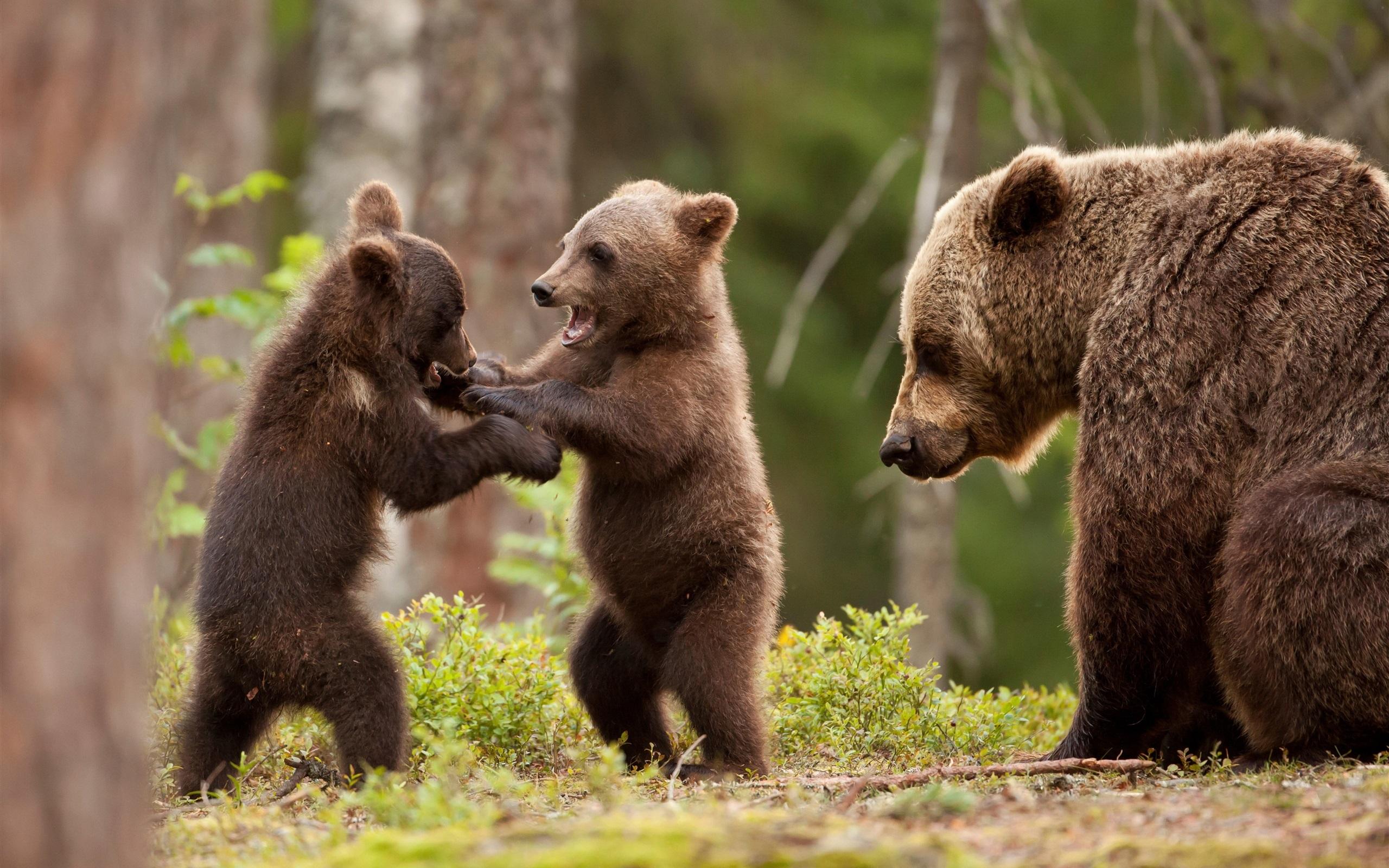 親の前で戦いごっこをする熊の兄弟