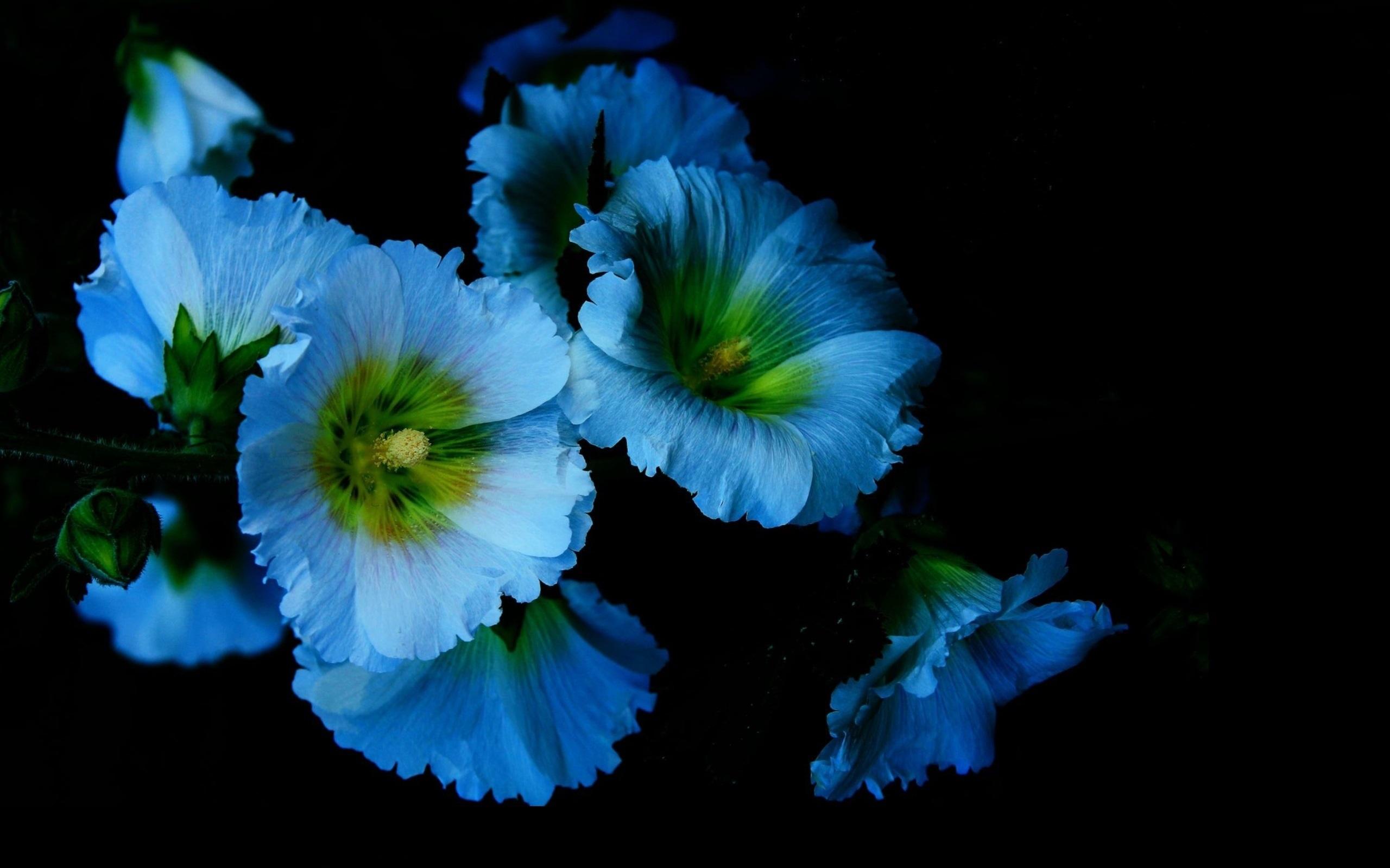Fondos De Pantalla Flores Azules Petalos Malva Fondo Negro