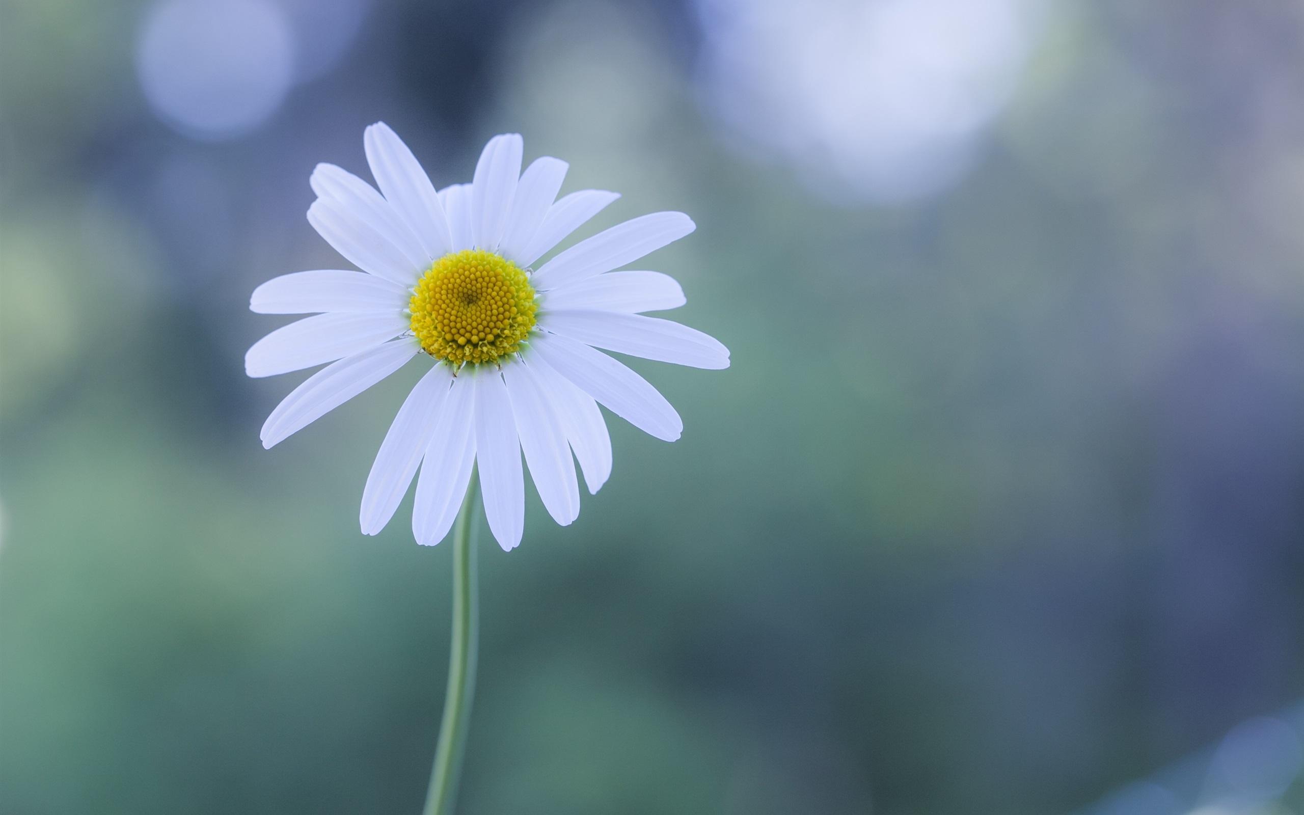 цветы ромашки блики загрузить