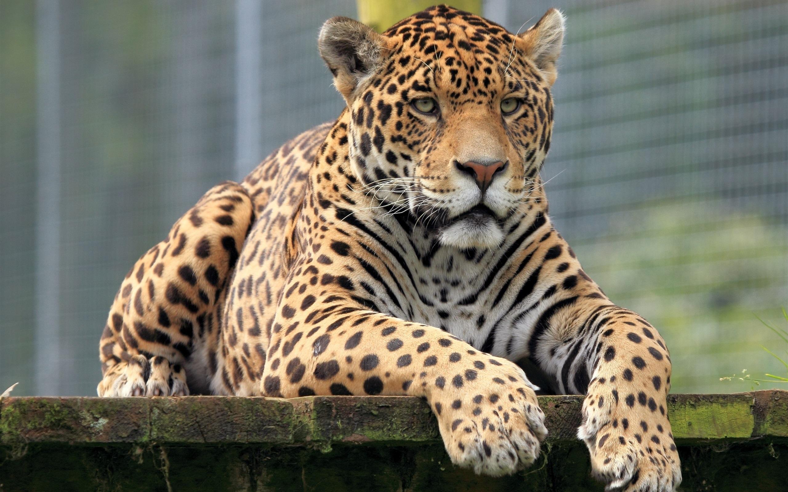 Wallpaper Animals Close Up Jaguar Front View 2560x1600 Hd Picture Image