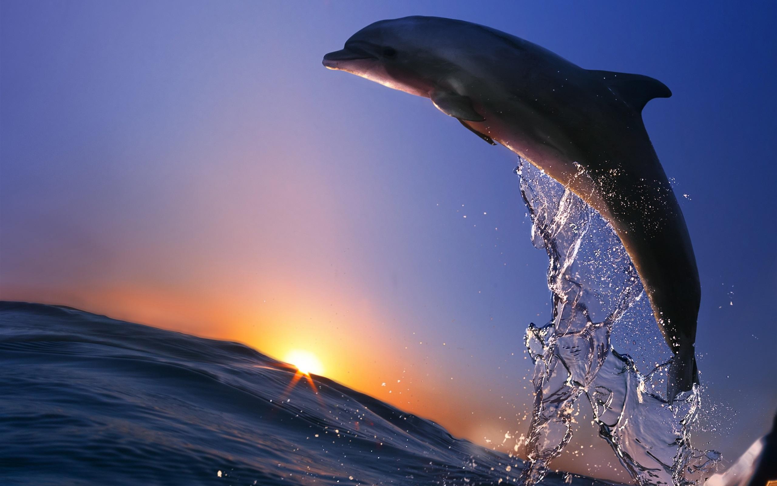 Wallpaper Dolphin Jump Ocean Sea Spray Sunset 2560x1600 HD