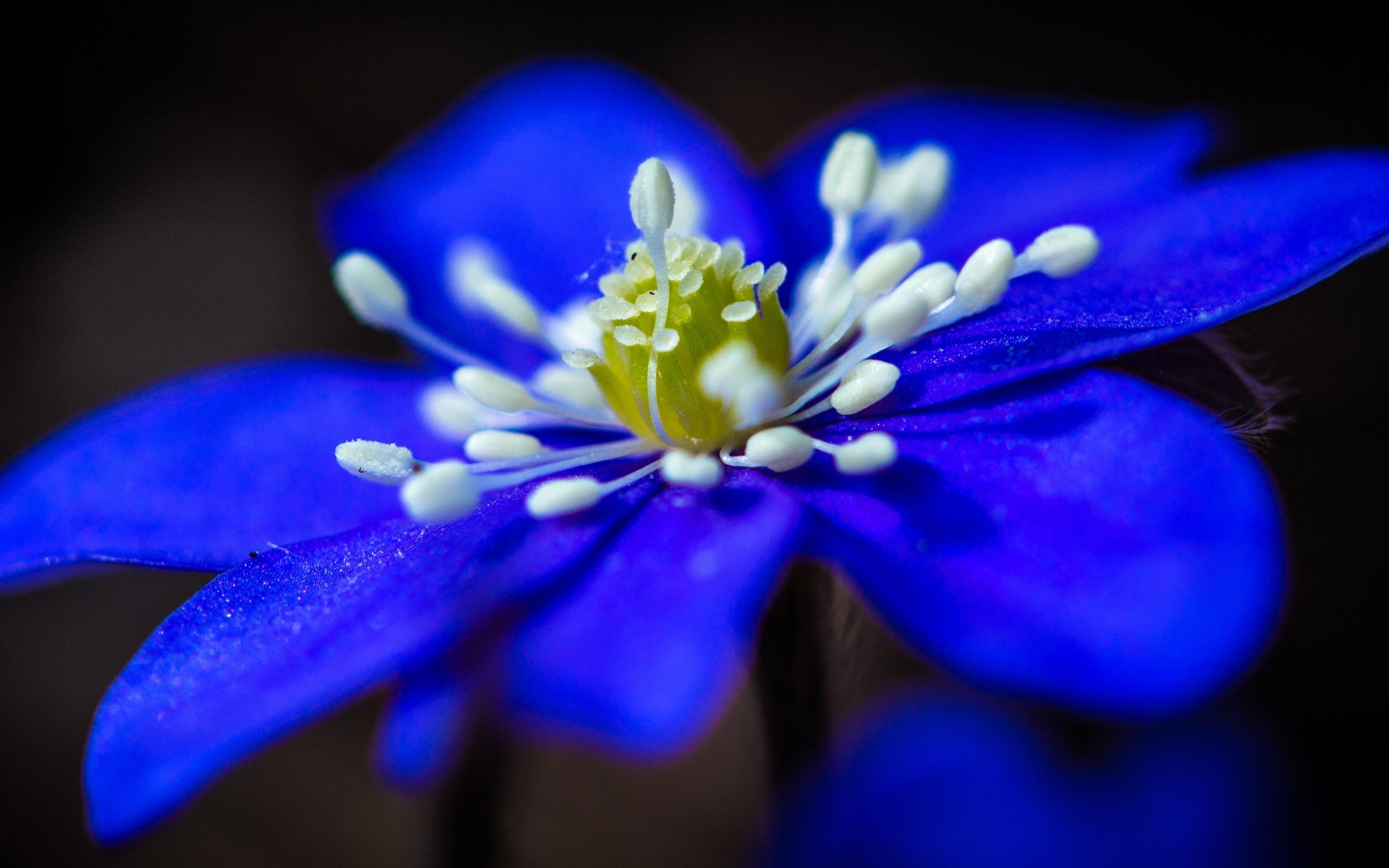 Hintergrundbilder Blaue Blume: Blaue Blume Close-up, Blütenblätter , Staubblätter