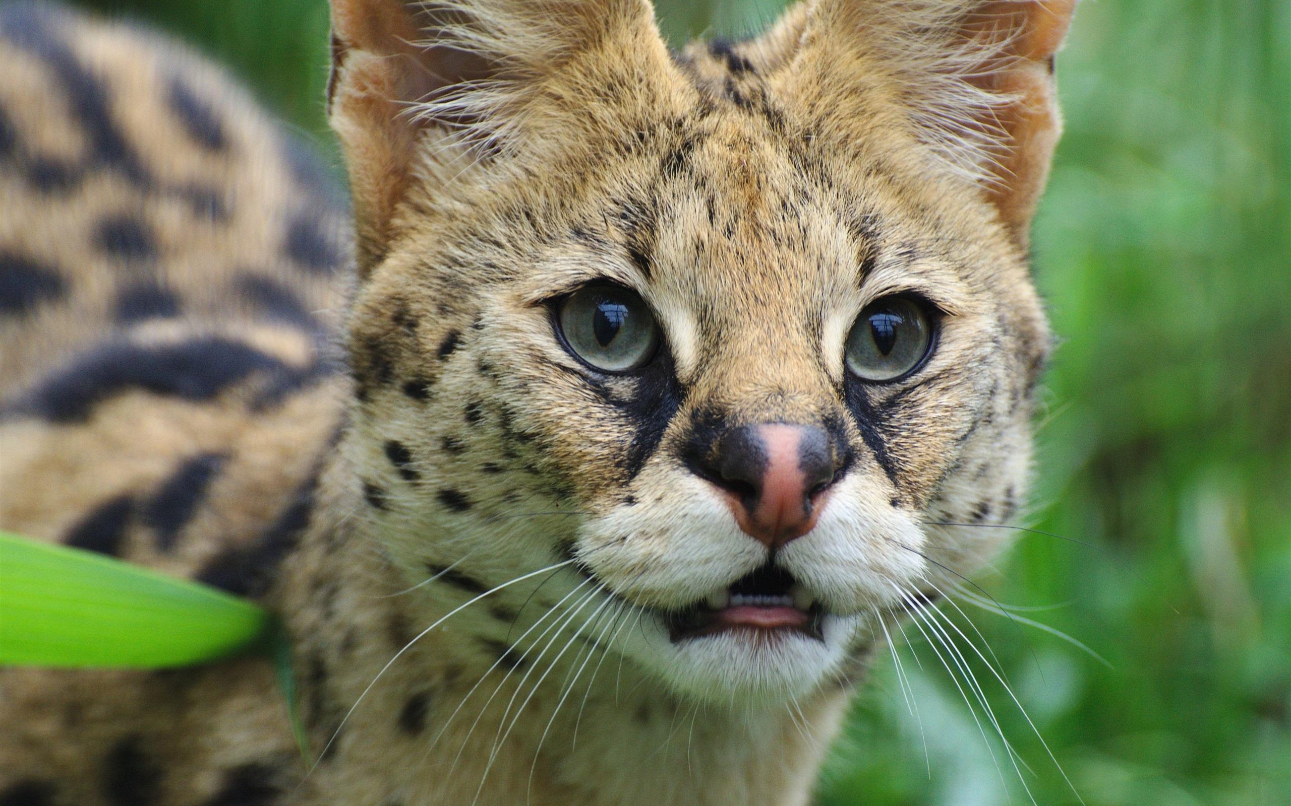 壁紙 かわいいサーバル 野生の猫 顔 目 2560x1600 Hd 無料の