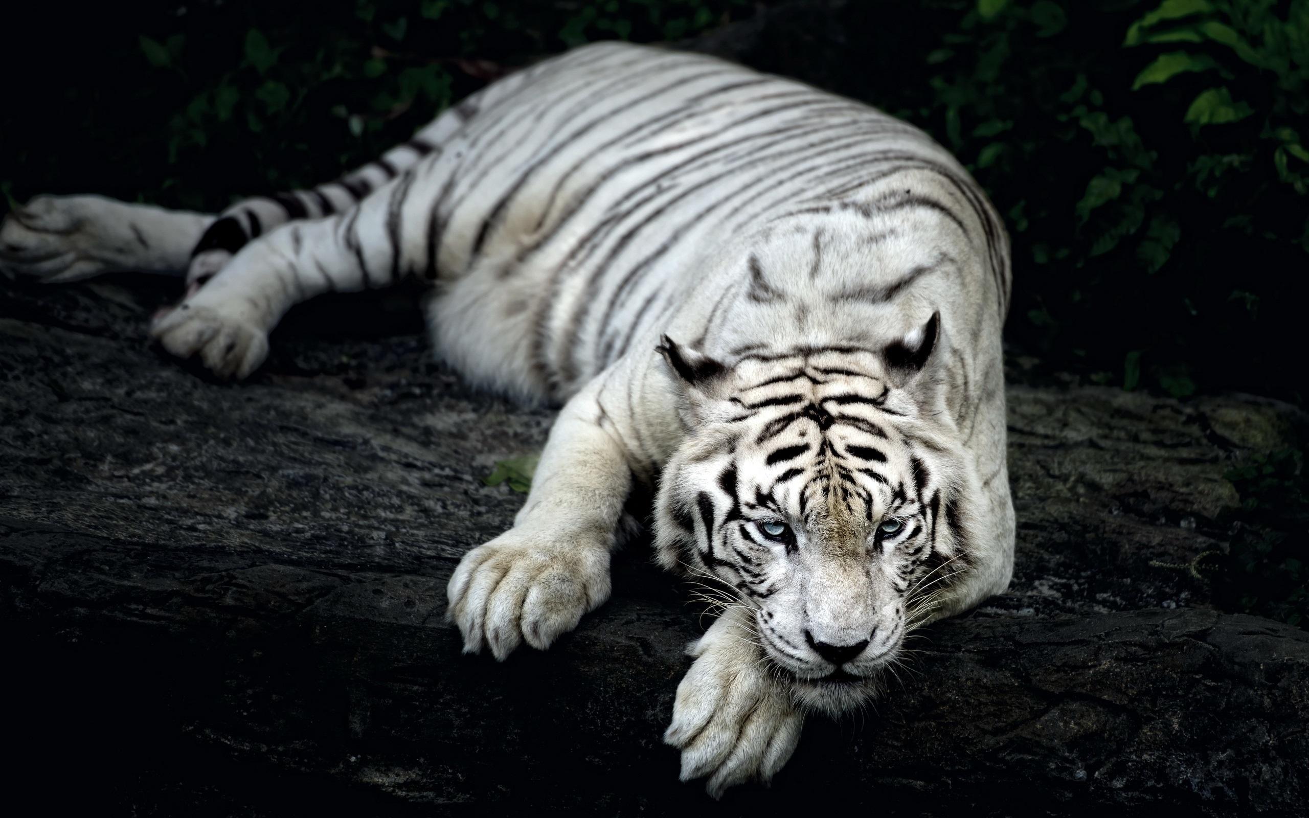白虎休息 壁纸 - 2560x1600