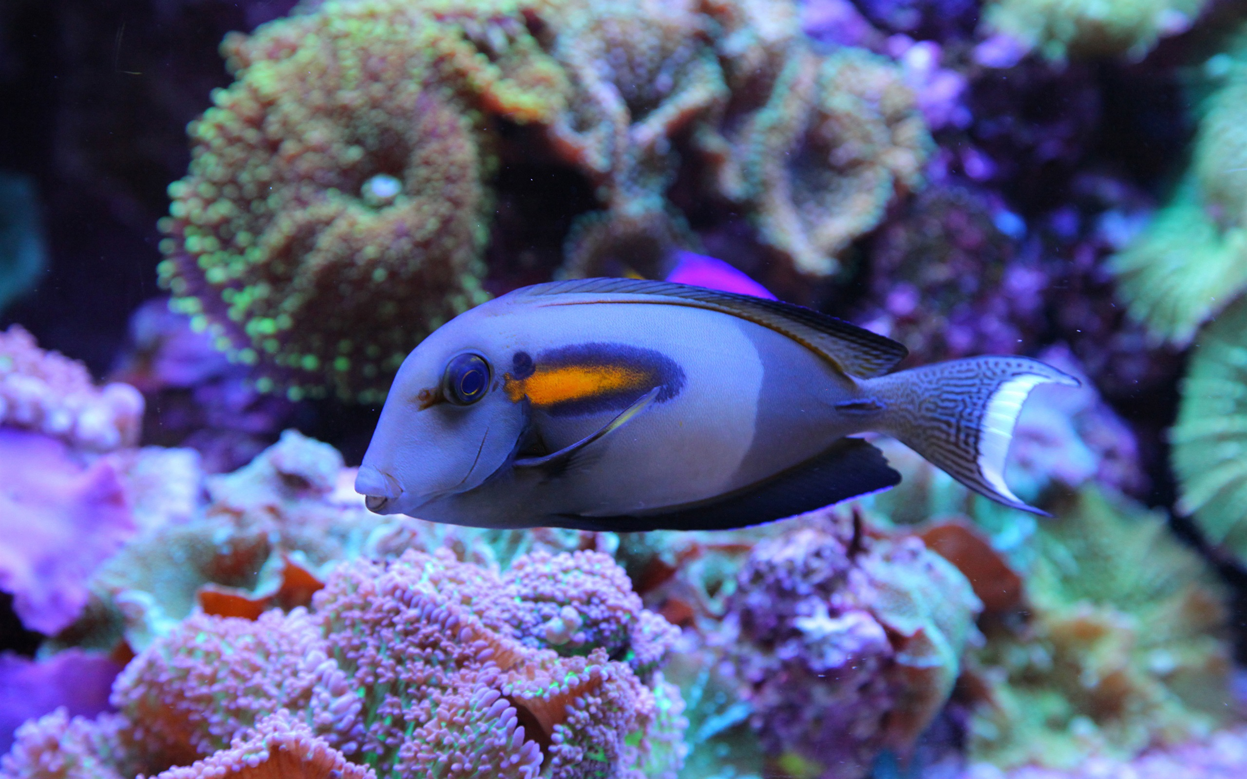 Wallpaper Blue Fish Underwater Sea Coral Reef 2560x1600 HD