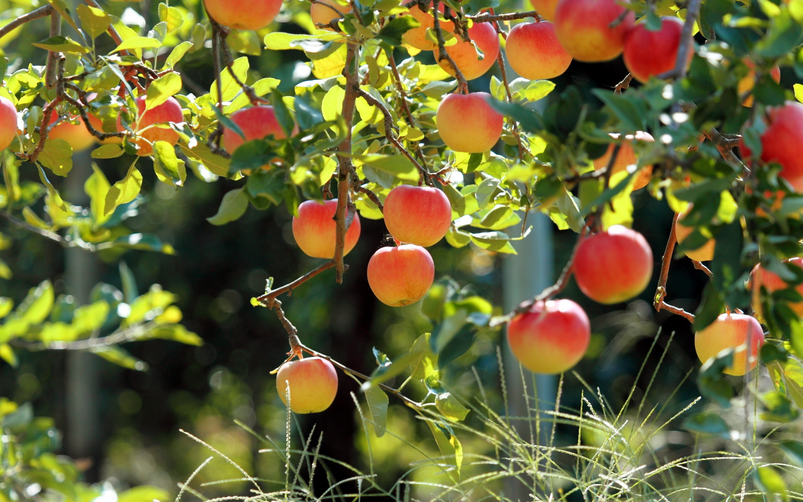 Wallpaper Fruit Garden Apple Tree Fresh Apples 2560x1600 Hd