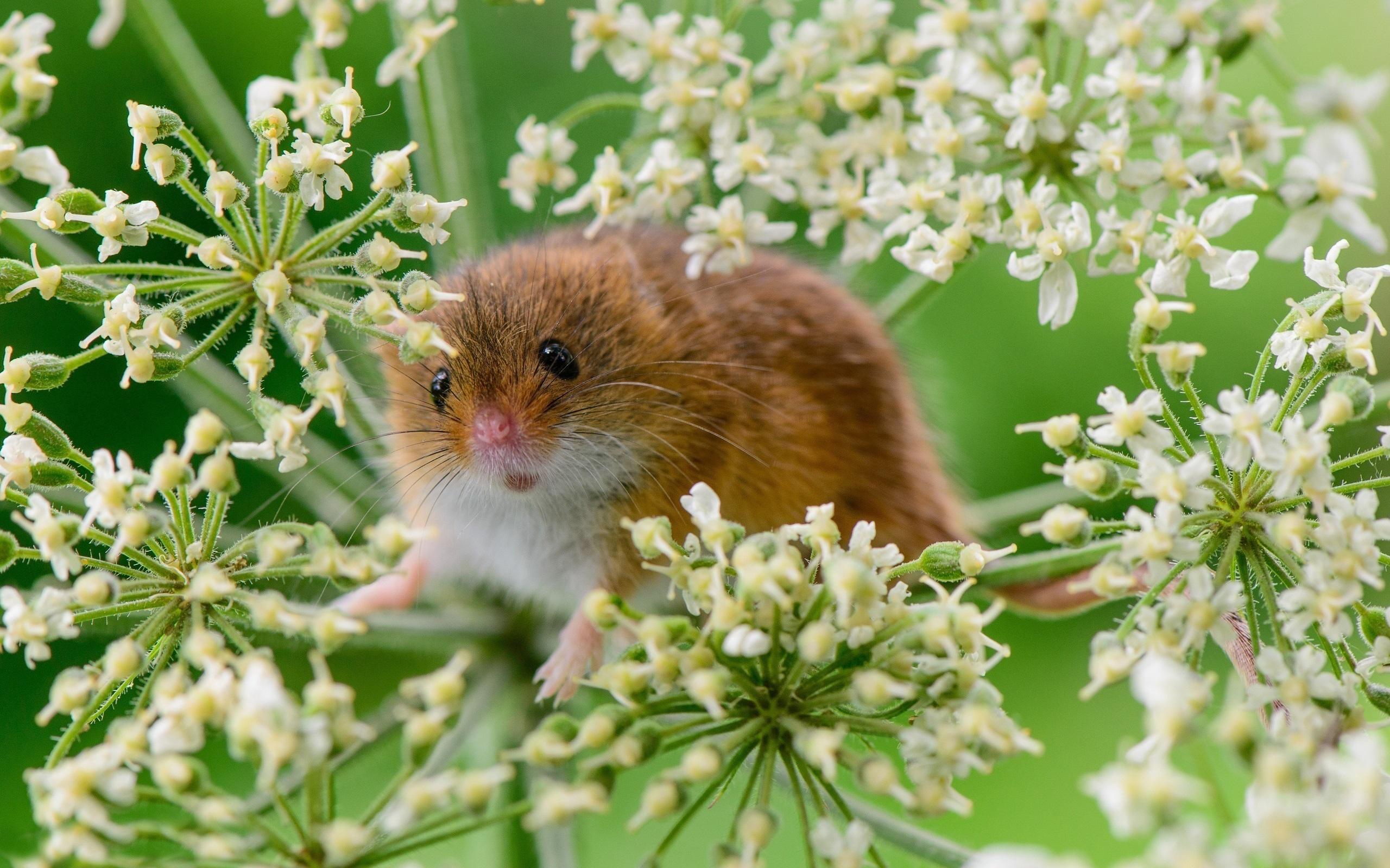 Kleine Maus in den Blumen 2560x1600 HD Hintergrundbilder, HD, Bild