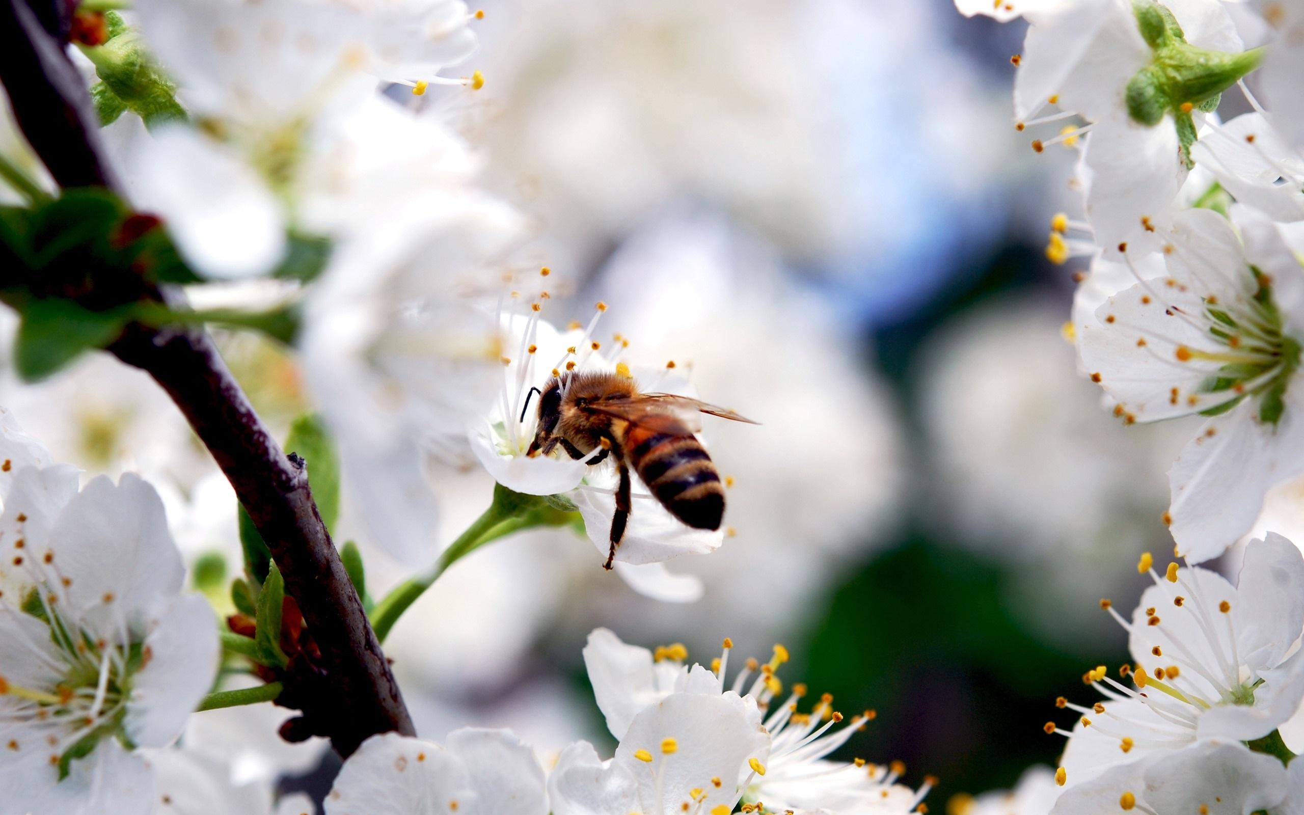 배경 화면 흰색 벚꽃 꽃, 곤충 꿀벌, 봄 2560x1600 HD 그림, 이미지
