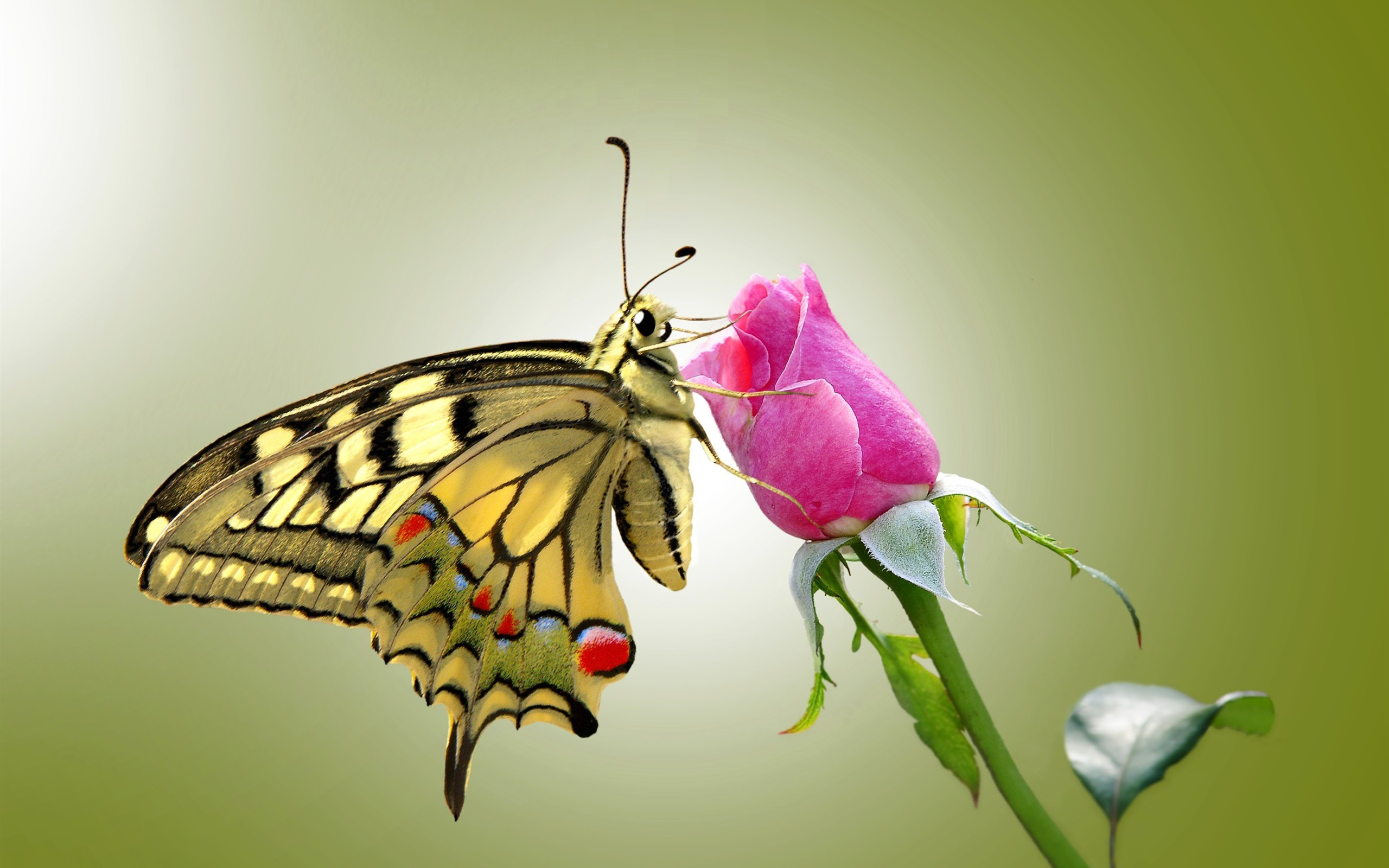 Butterfly and pink rose wallpaper 2560x1600