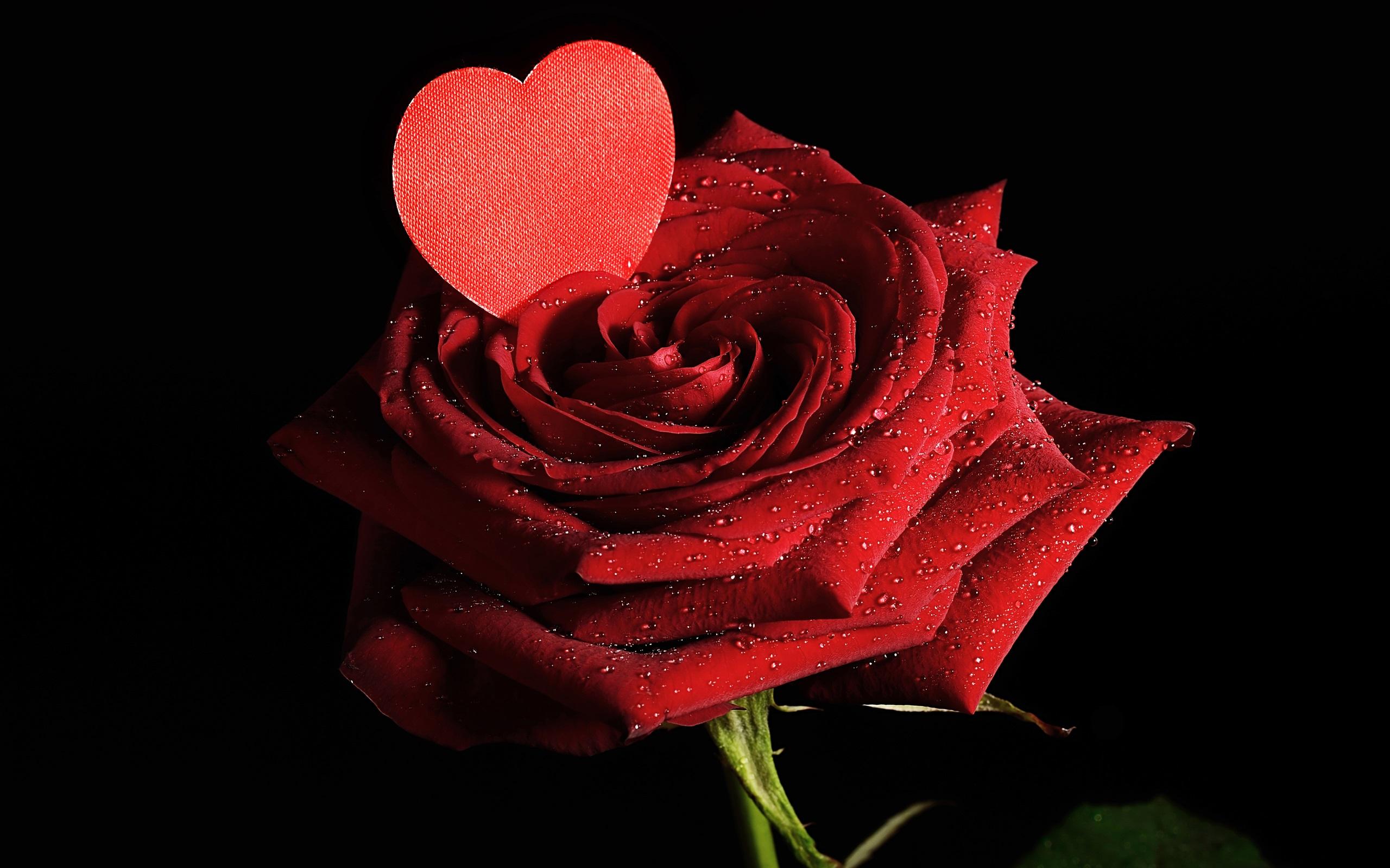 роза сердце капли  № 1395866 без смс