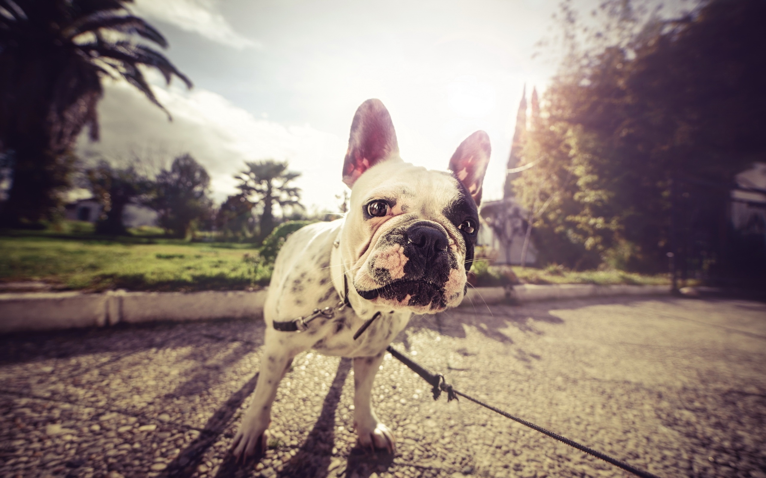 Собака животное французский бульдог  № 2228187 без смс