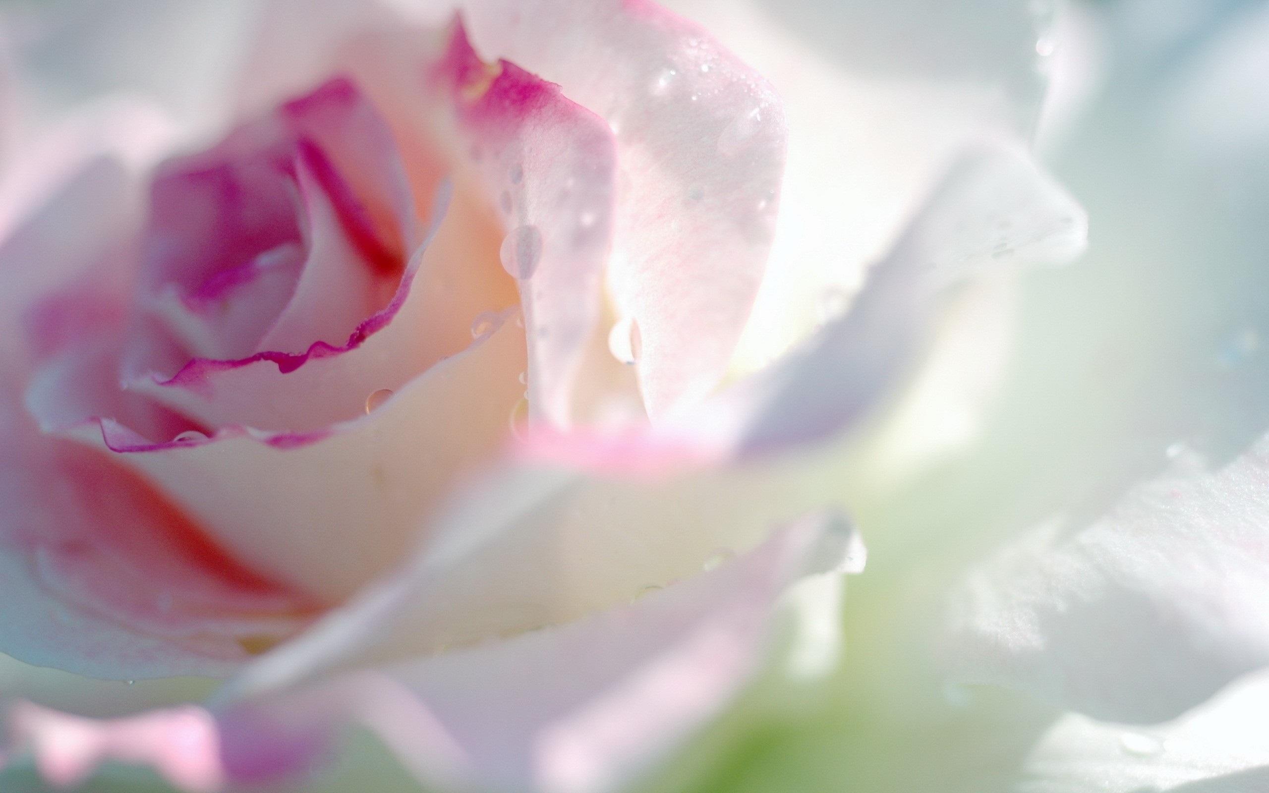 природа розовые цветы капли росы скачать