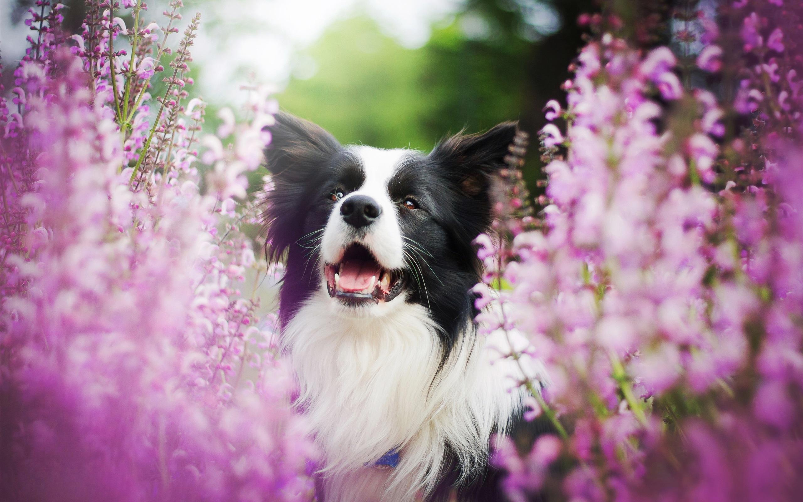 色女和公狗�9��yl#�+_狗和粉红色的花朵,模糊 壁纸 - 2560x1600
