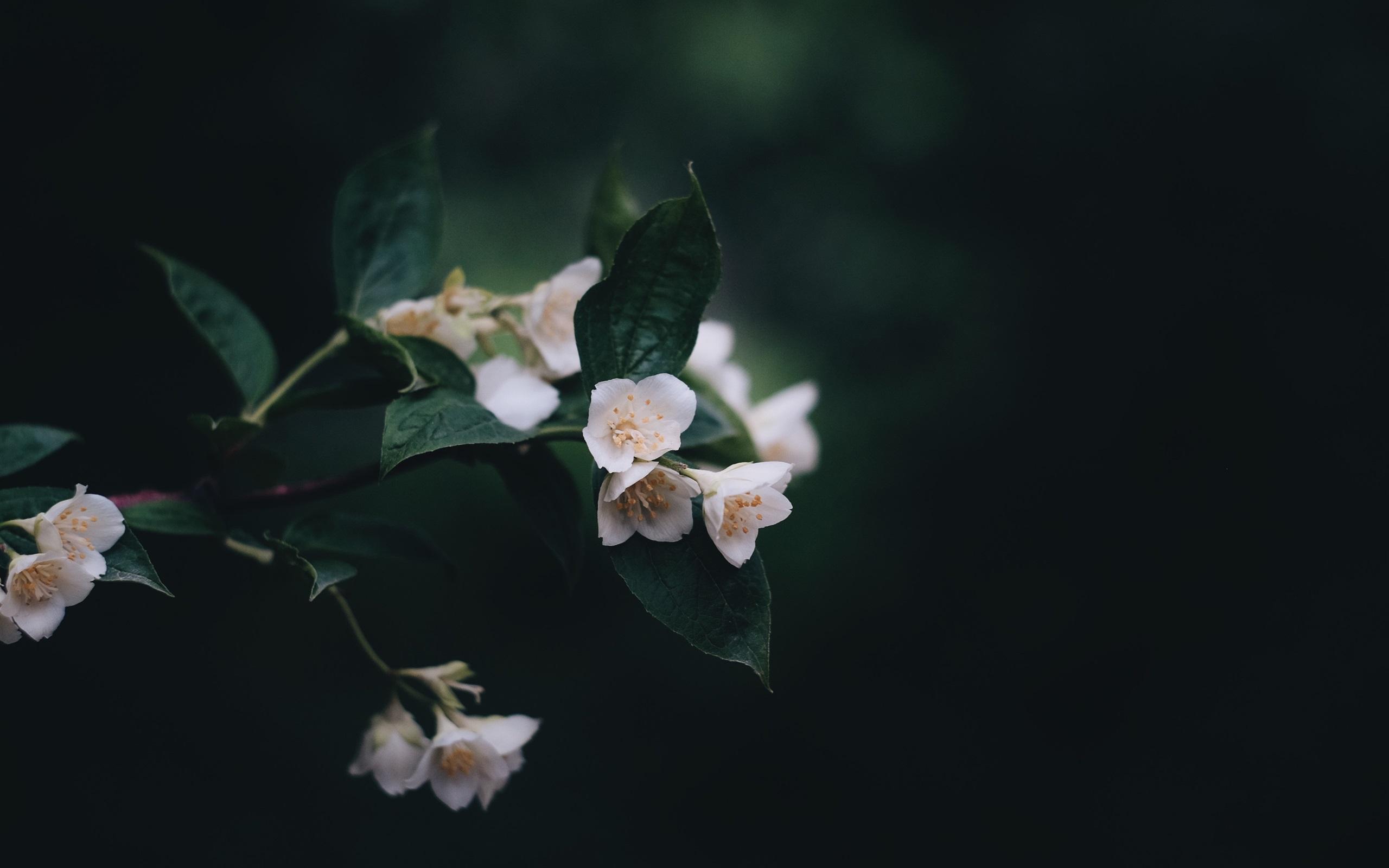 Fondo De Pantalla Flores Blancas En Fondo Rosa: Flores Blancas, Ramitas, Fondo Negro Fondos De Pantalla