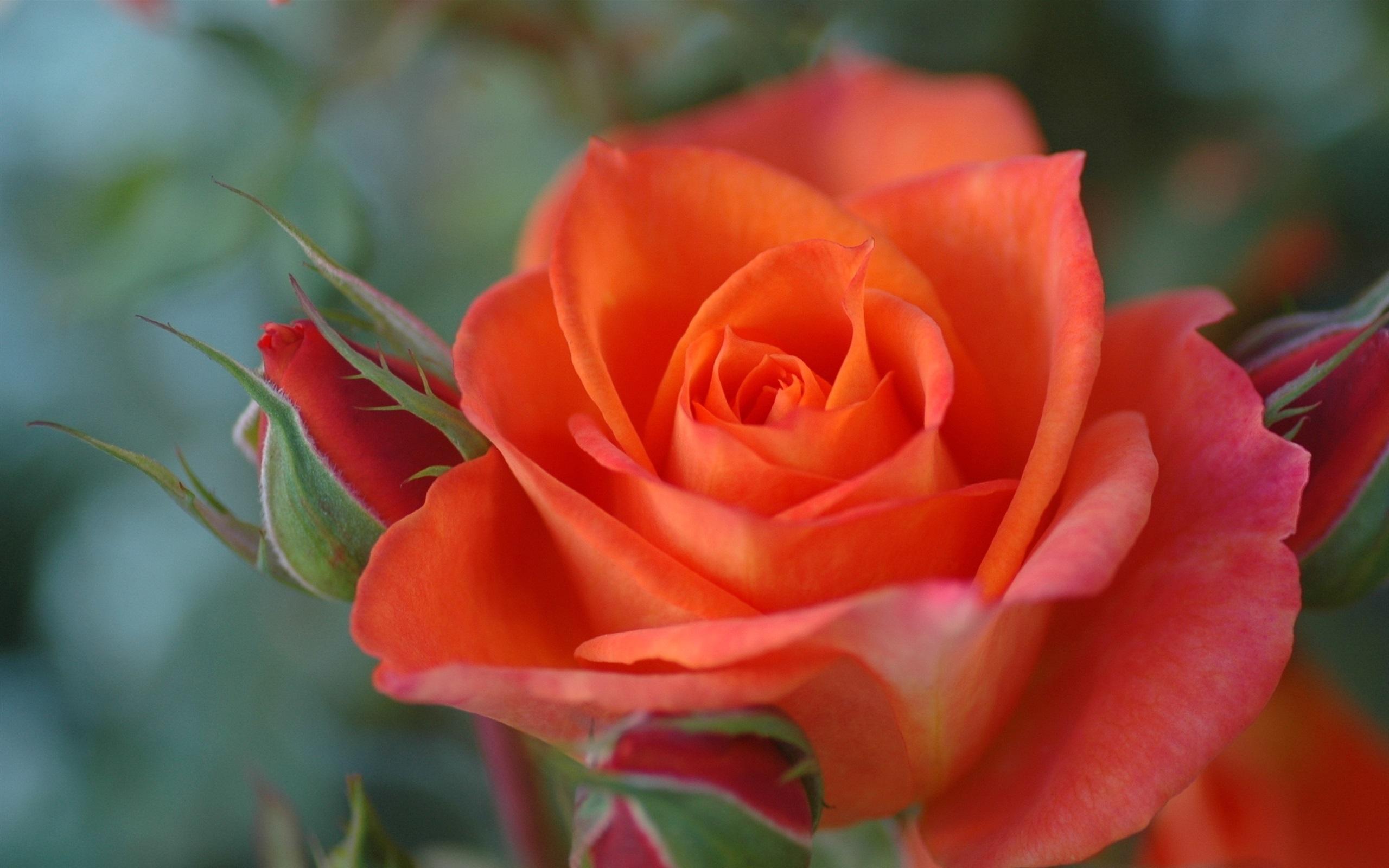 Fondos De Pantalla Color Naranja Color De Rosa Close-up