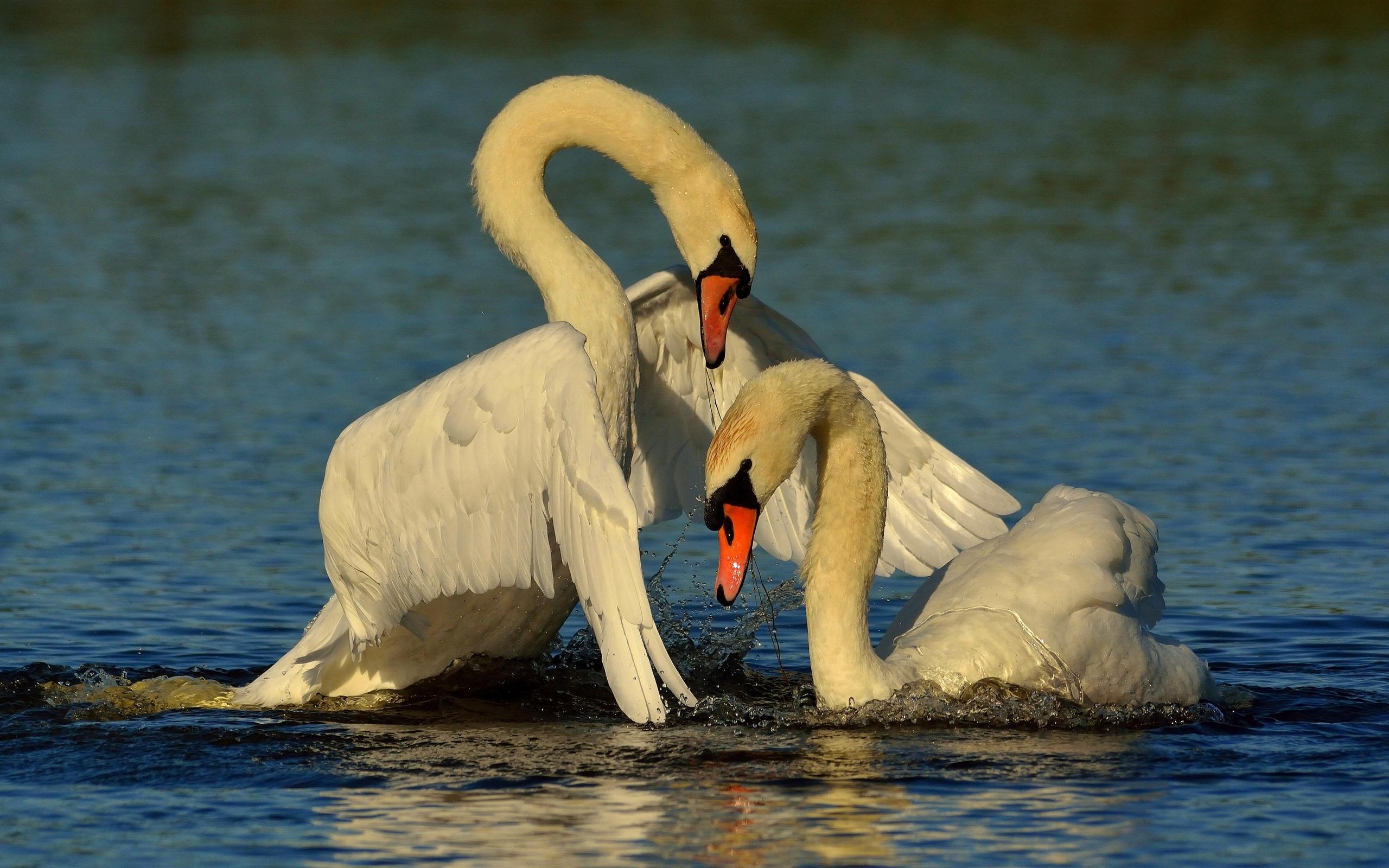 сожалению, одной самые красивые фото пары лебеди сумки кожи ручной