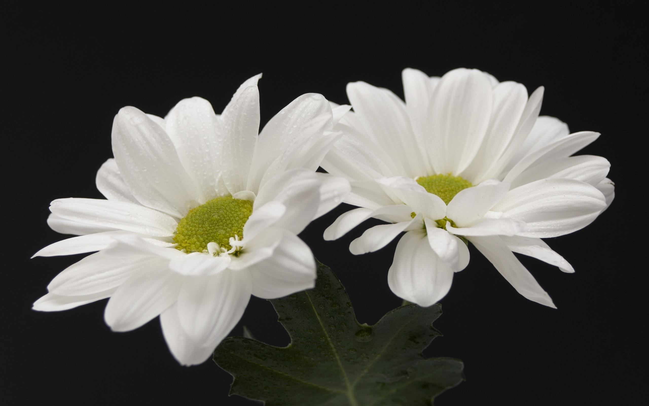 Fondos De Pantalla Flores Blancas Fondo Negro 2560x1600 Hd Imagen