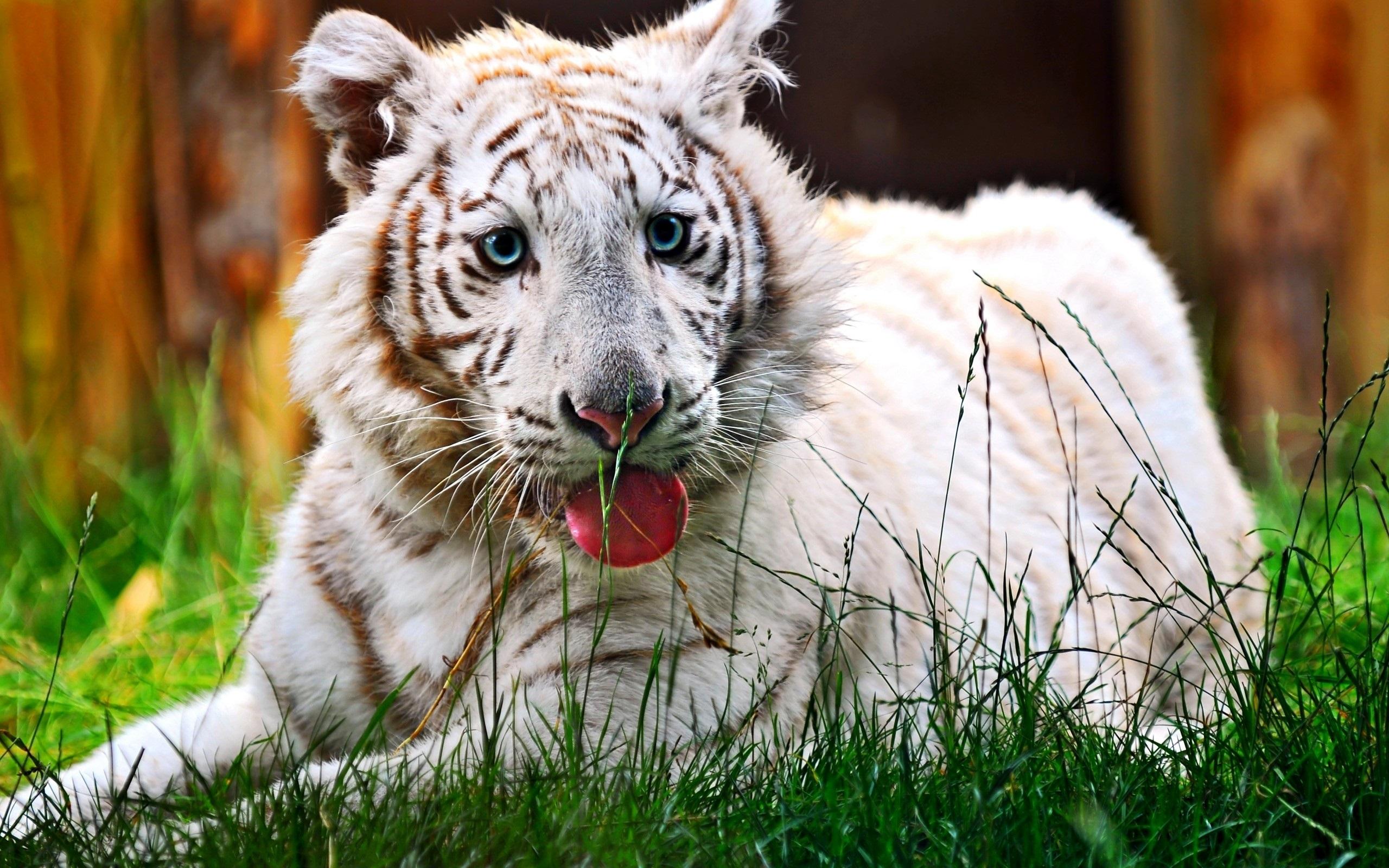Papeis De Parede Descanso Tigre Branco Olhos Azuis Grama